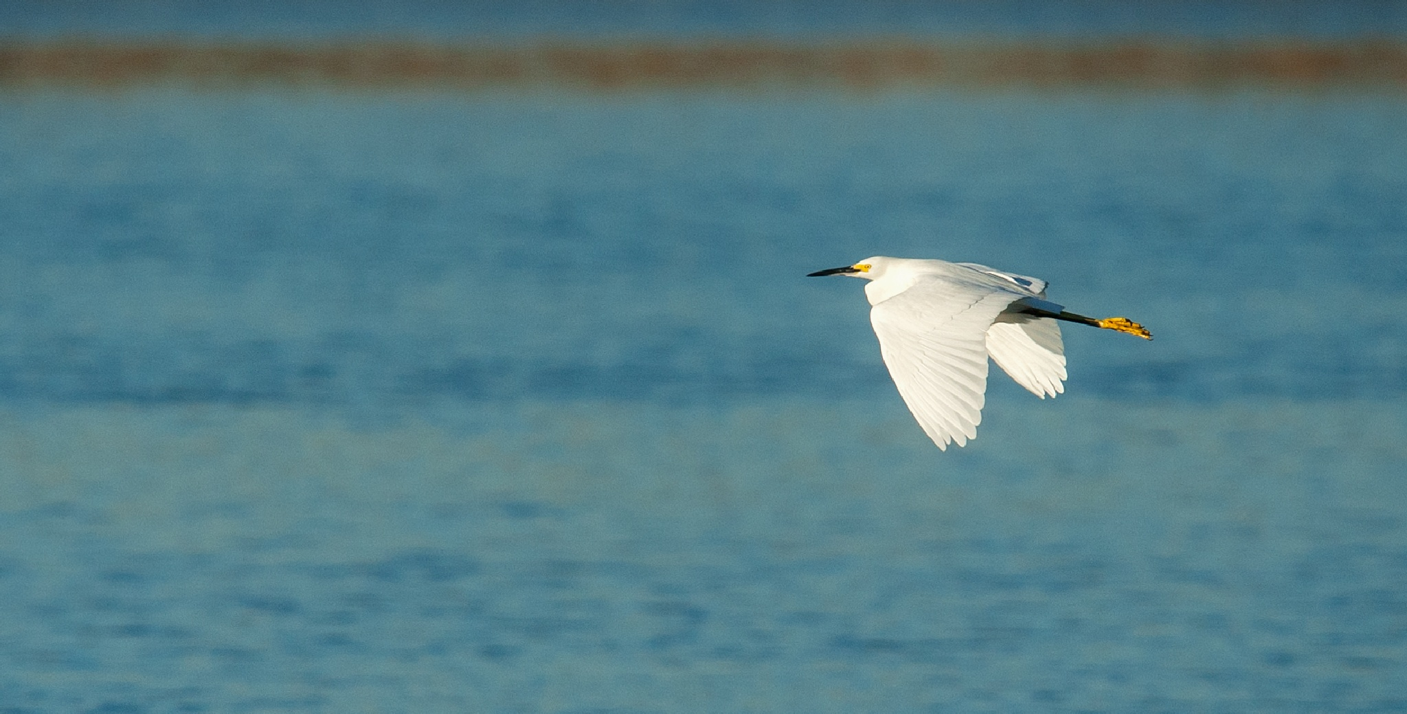 A white egret at Bolsa Chica Ecological Reserve by blueskyoveraquatic