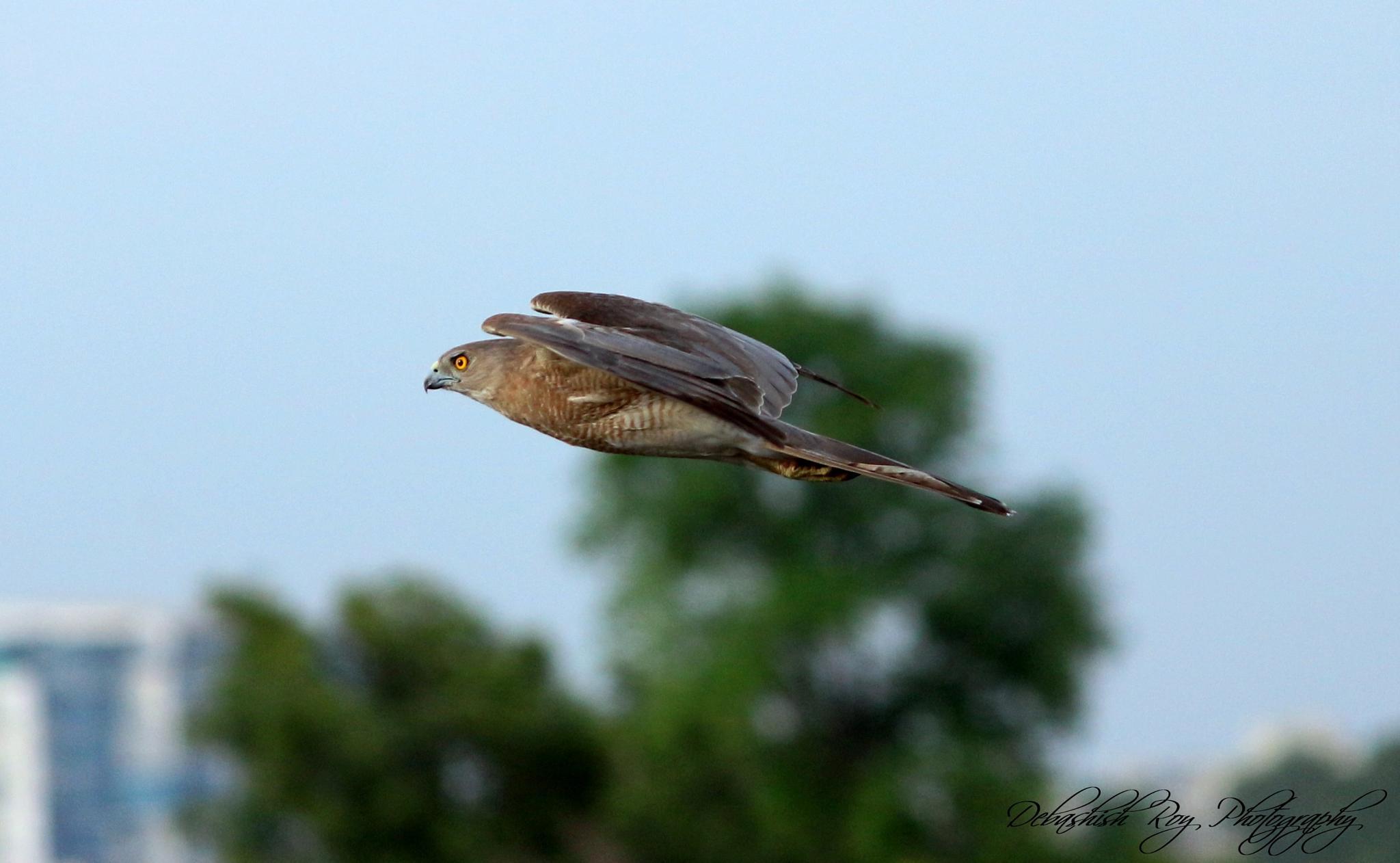 Flying Baaz (hawk)  by DEBASHISH ROY