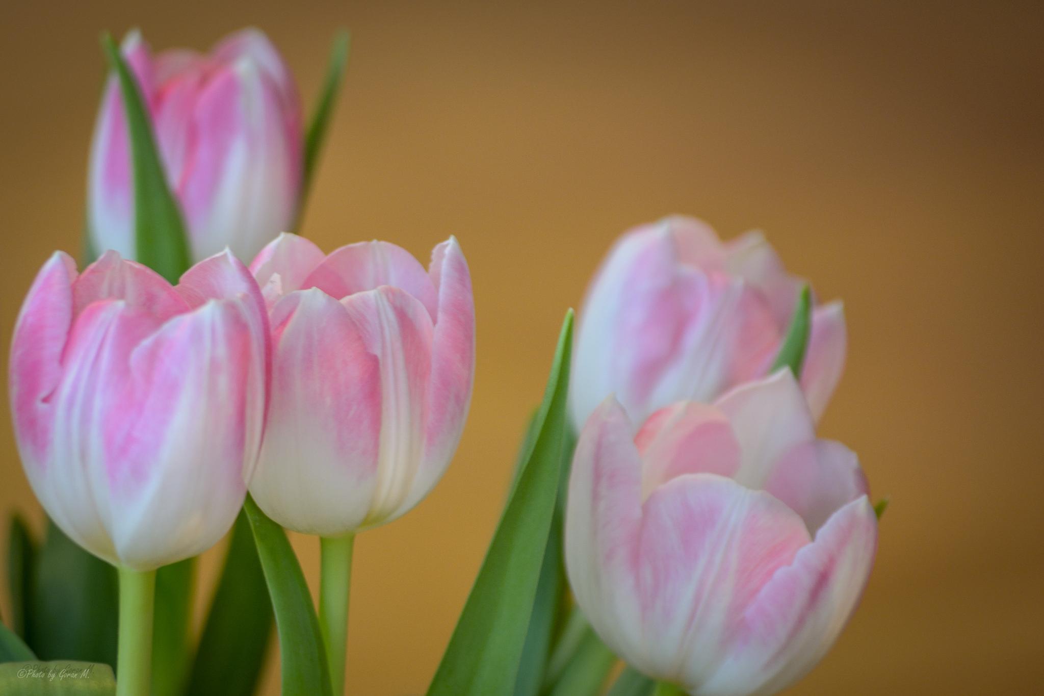 Tulip by Goran Miletic