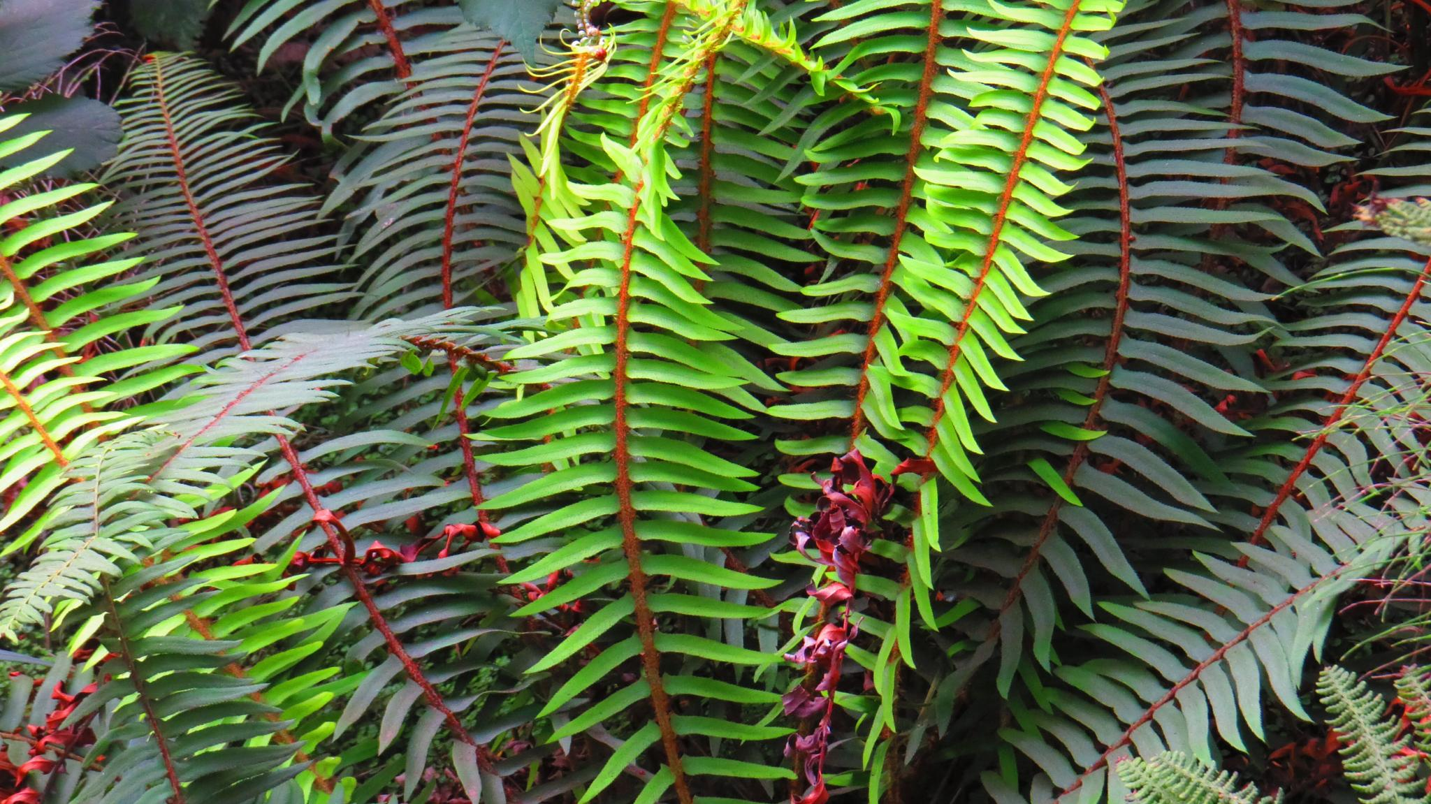 Ferns grow in abundance in Northern CA by soulofcentralcoast