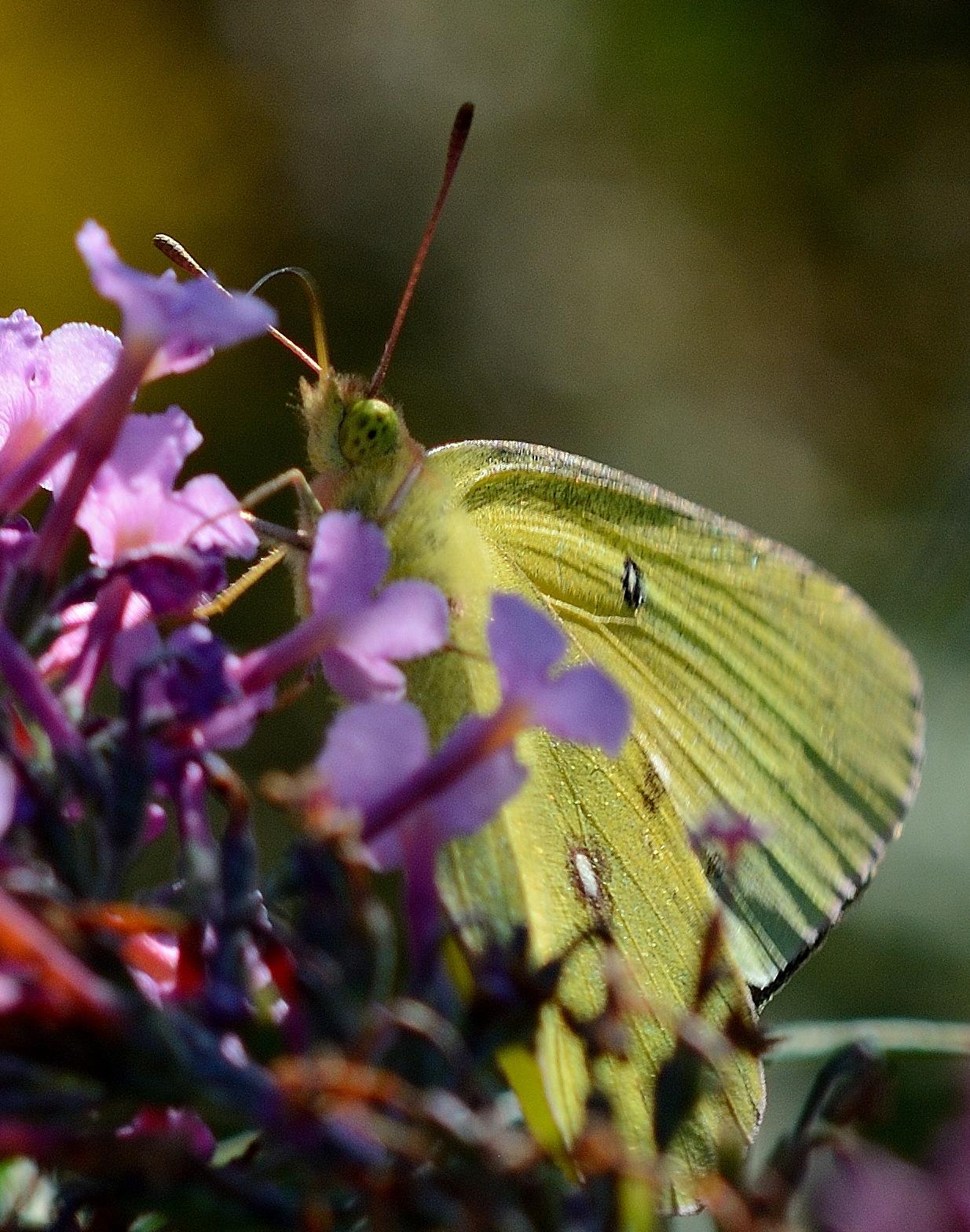 Butterfly by Bret