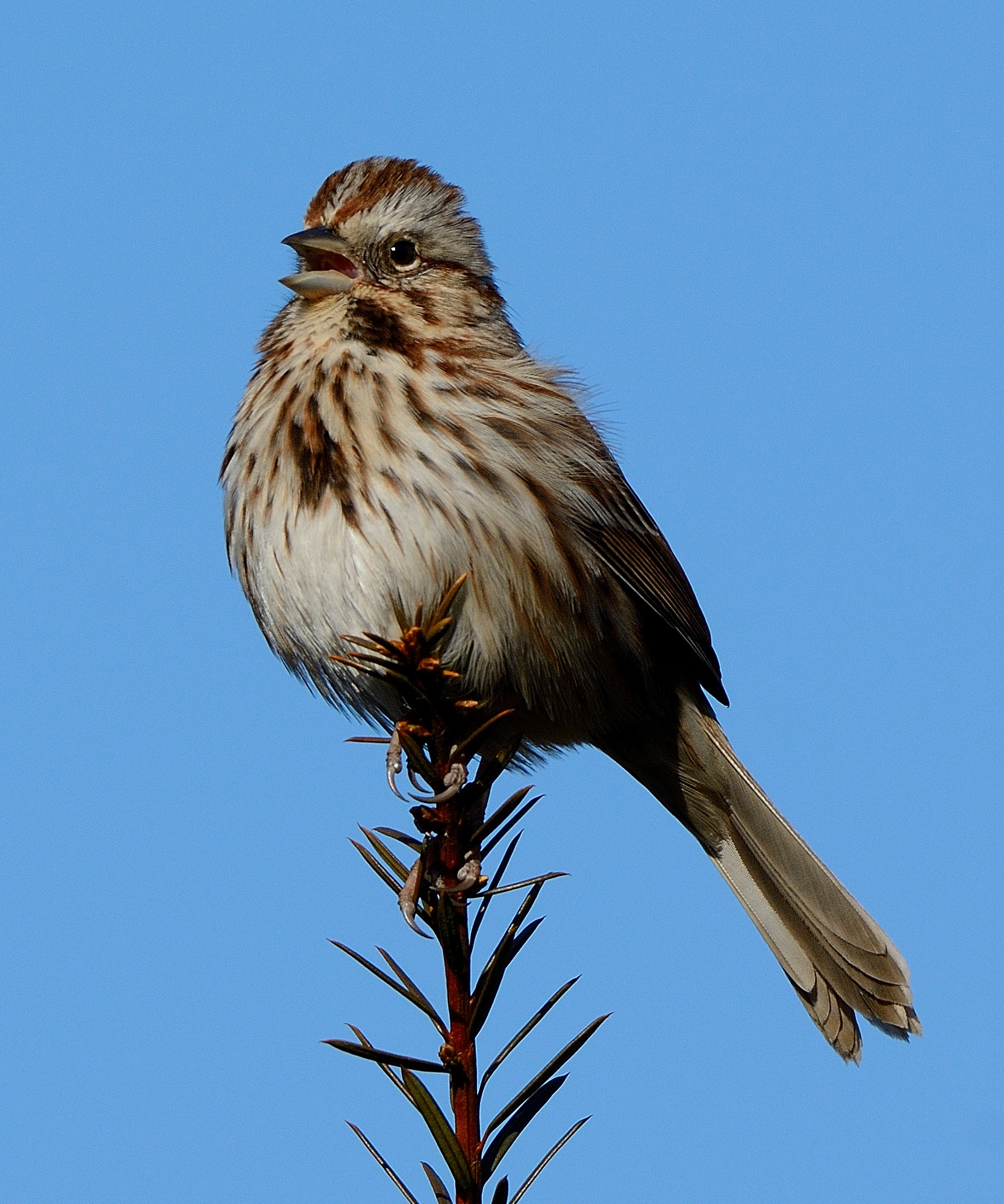 Song Sparrow by Bret