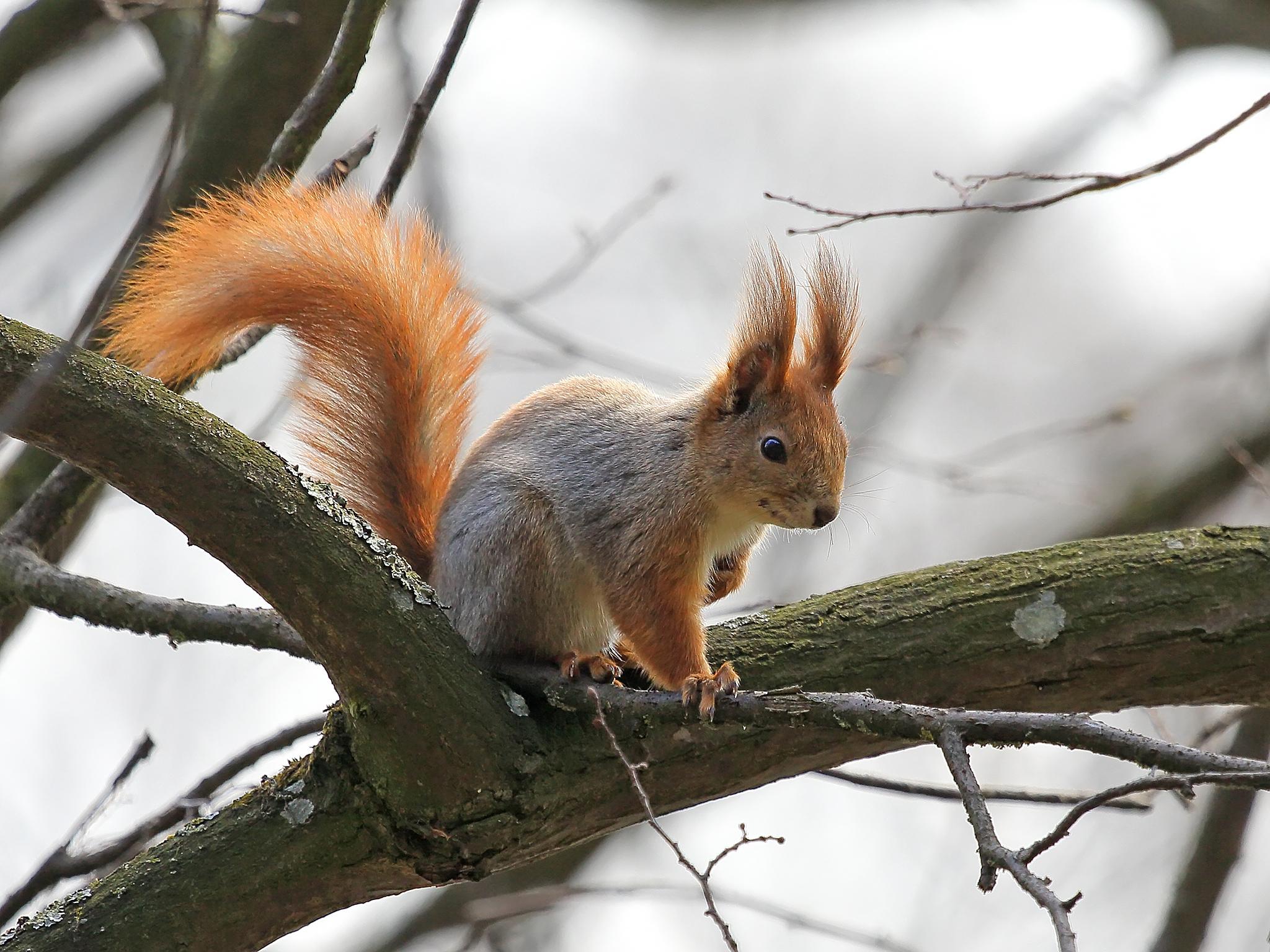 Squirrel by valsheff