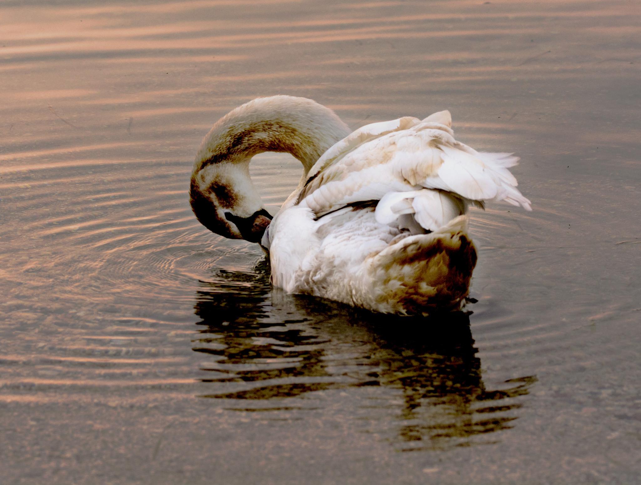 Duck Garda Lake by Emanu by Emanu & Ale