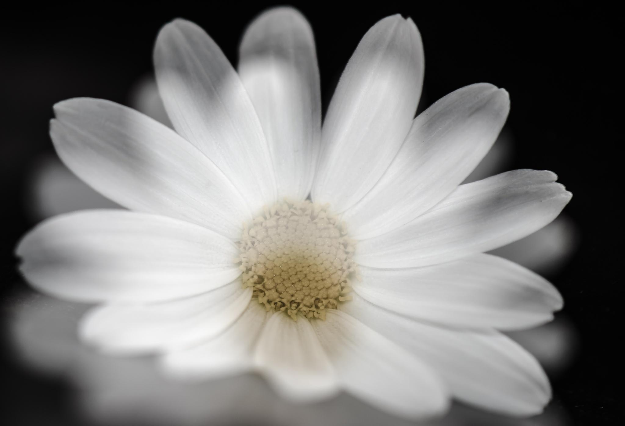 Daisy Daisy by ninamfriis