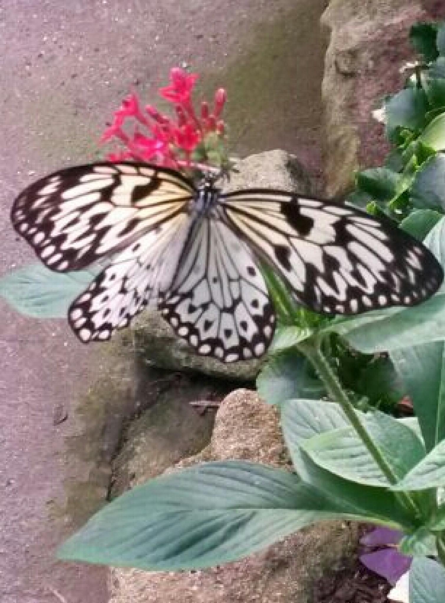 "Butterfly's Wings  by Gladys ""Bing ""Nuevo"