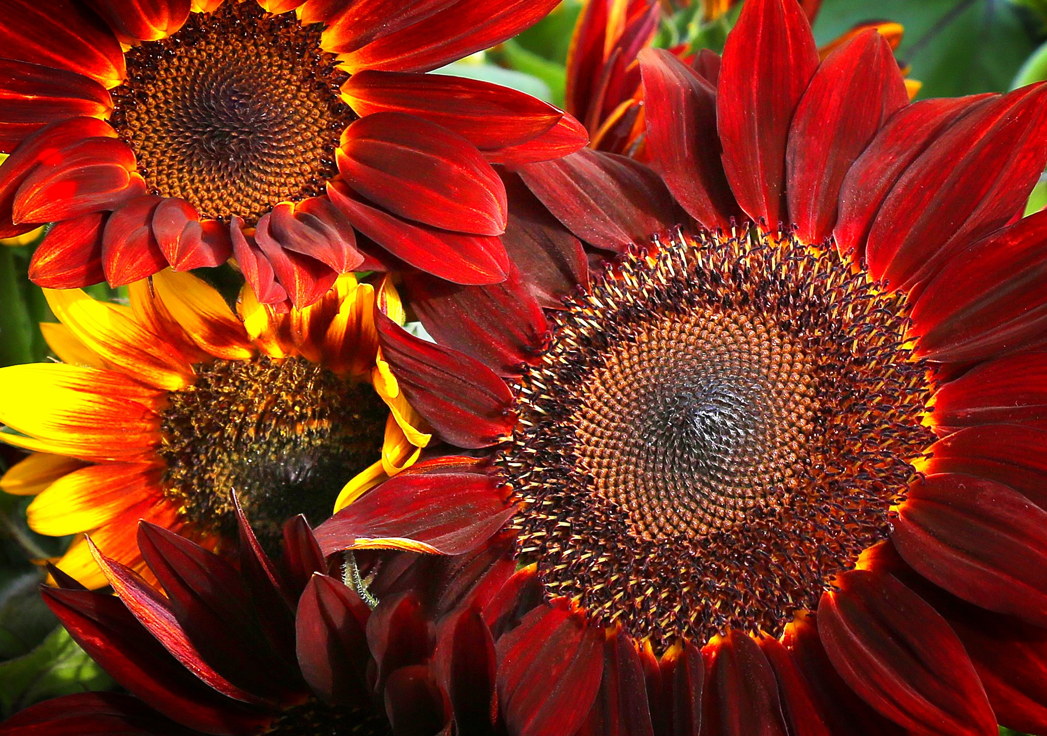 Sunflowers  by acason34