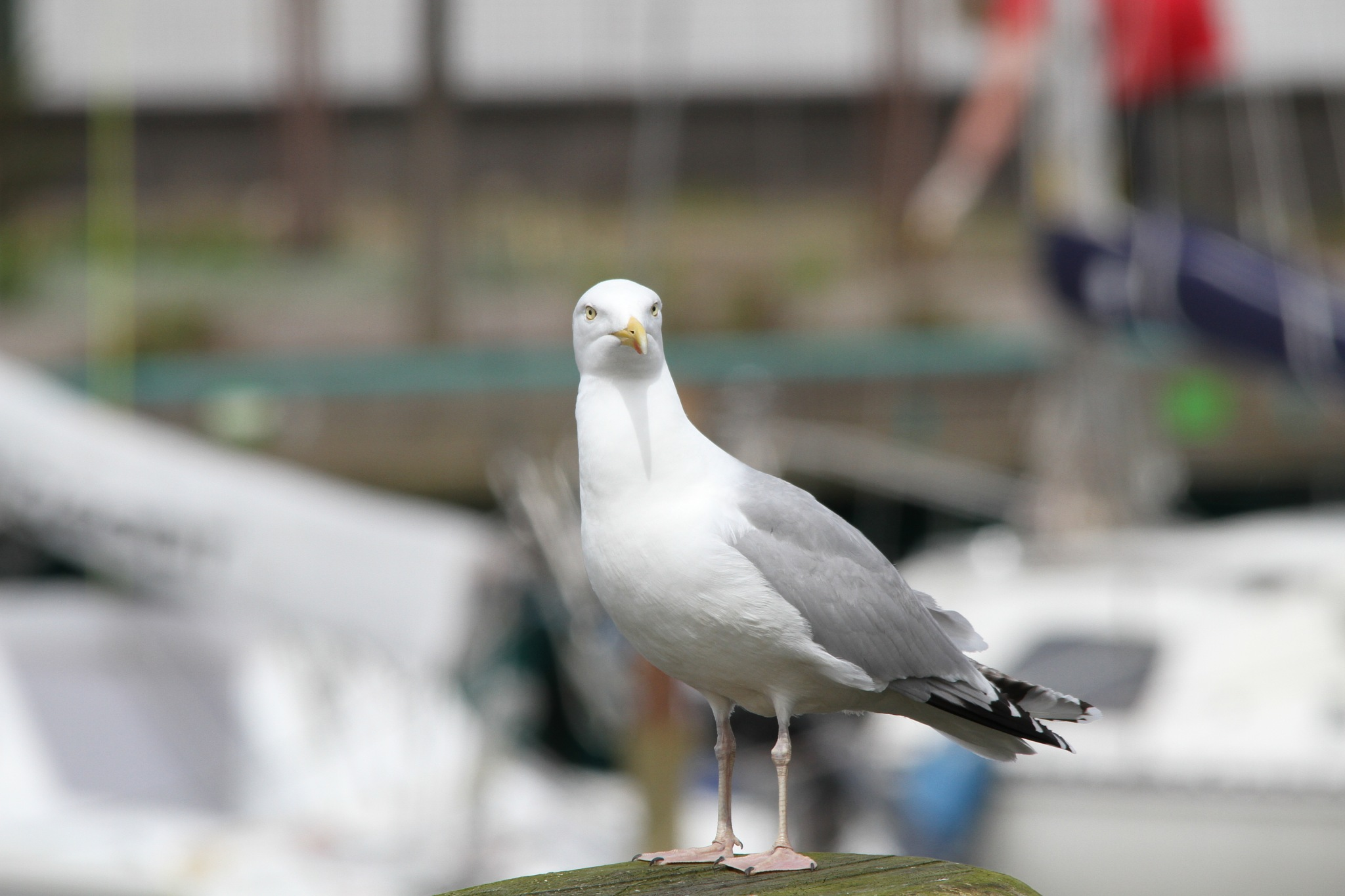 May I introduce to you - Mr. Herring Gull by Klaus-Dieter Adamski