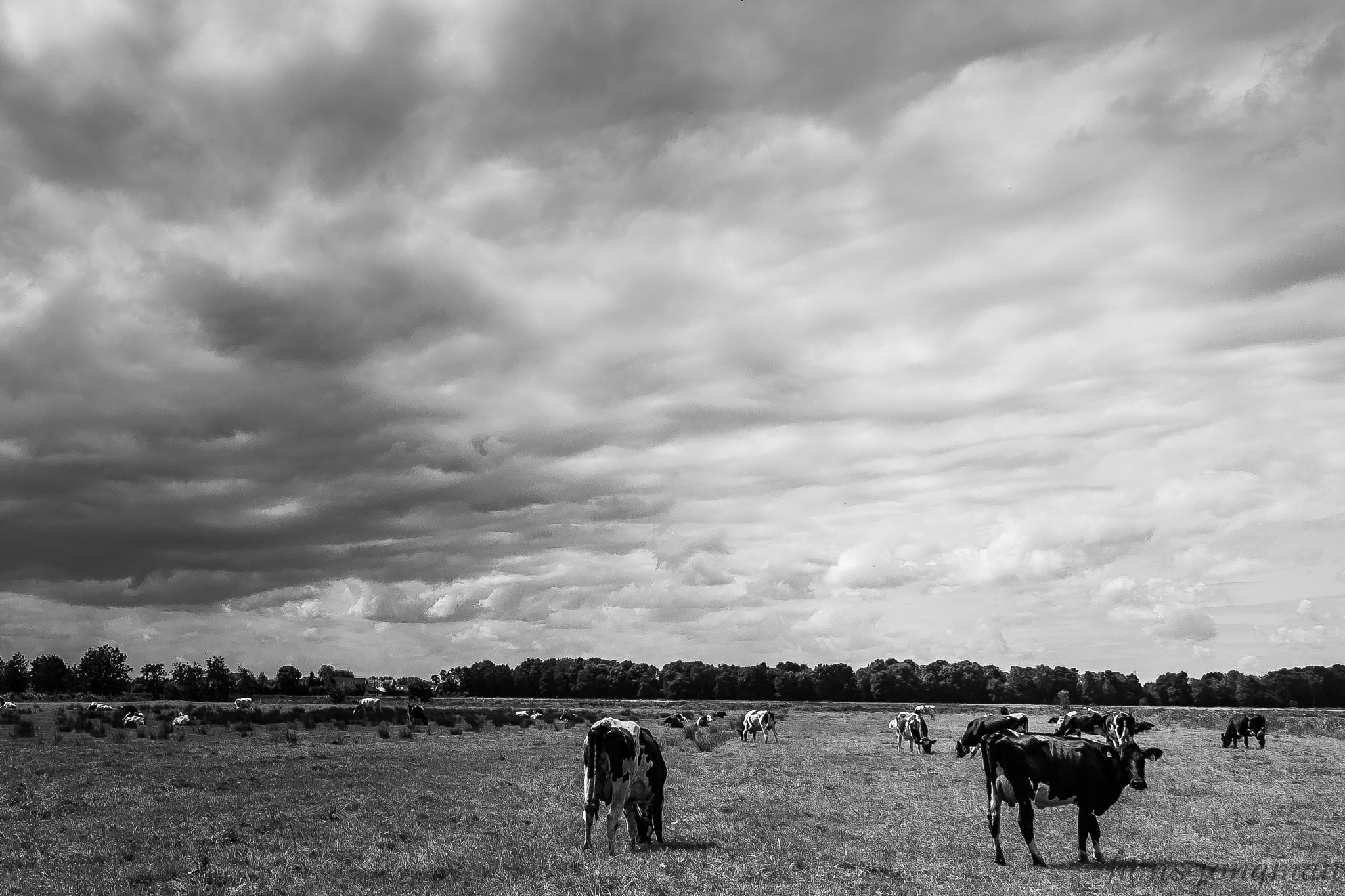 Cows by HansJongman