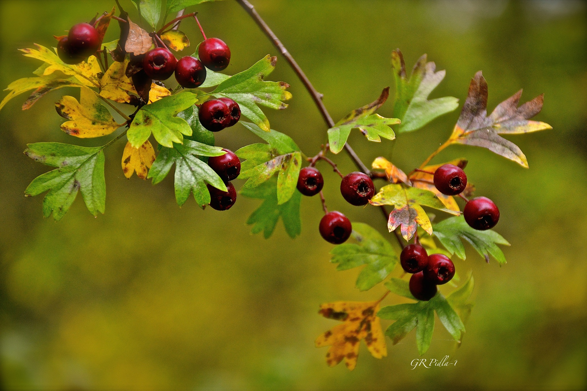 Red Berries by Gina  Alwaysmile (*_*)