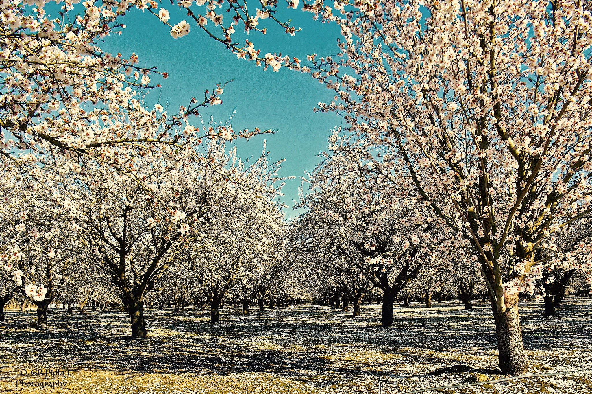 Spring Flowers Fruit Blossom Trees by Gina  Alwaysmile (*_*)