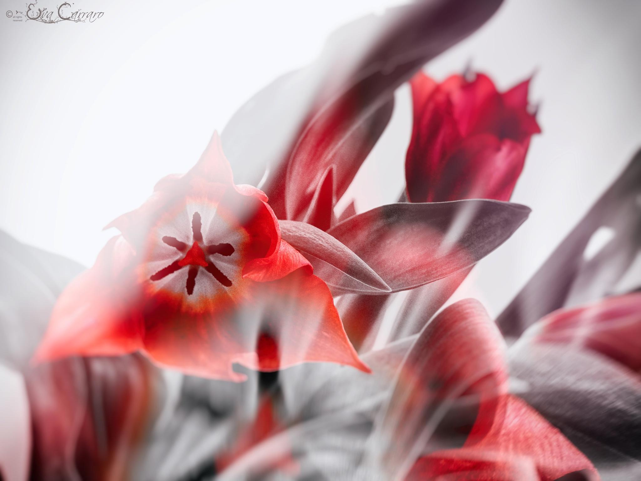 Tulips by evacarraro1969