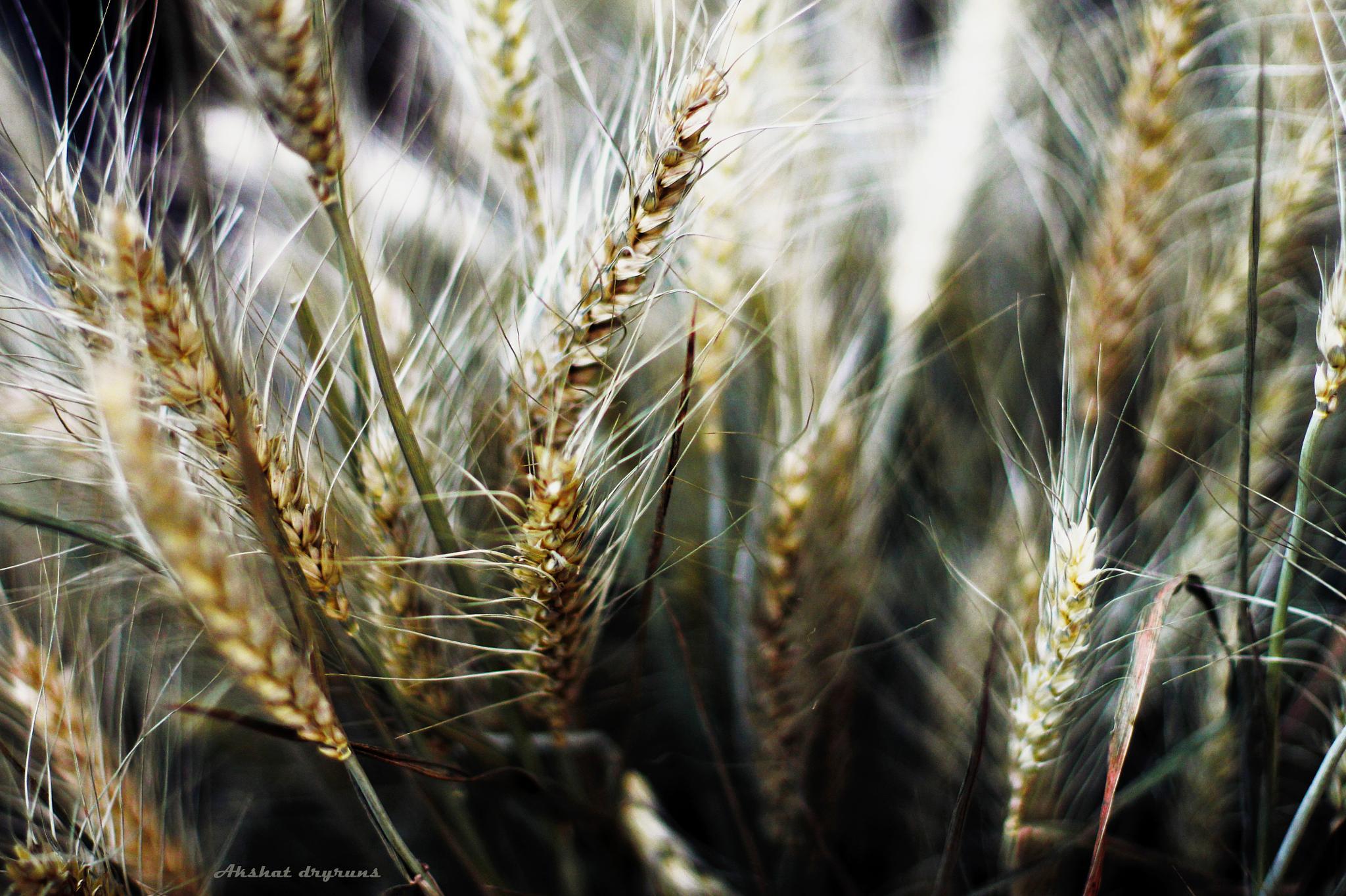 Pure Gold by Akshat dryruns