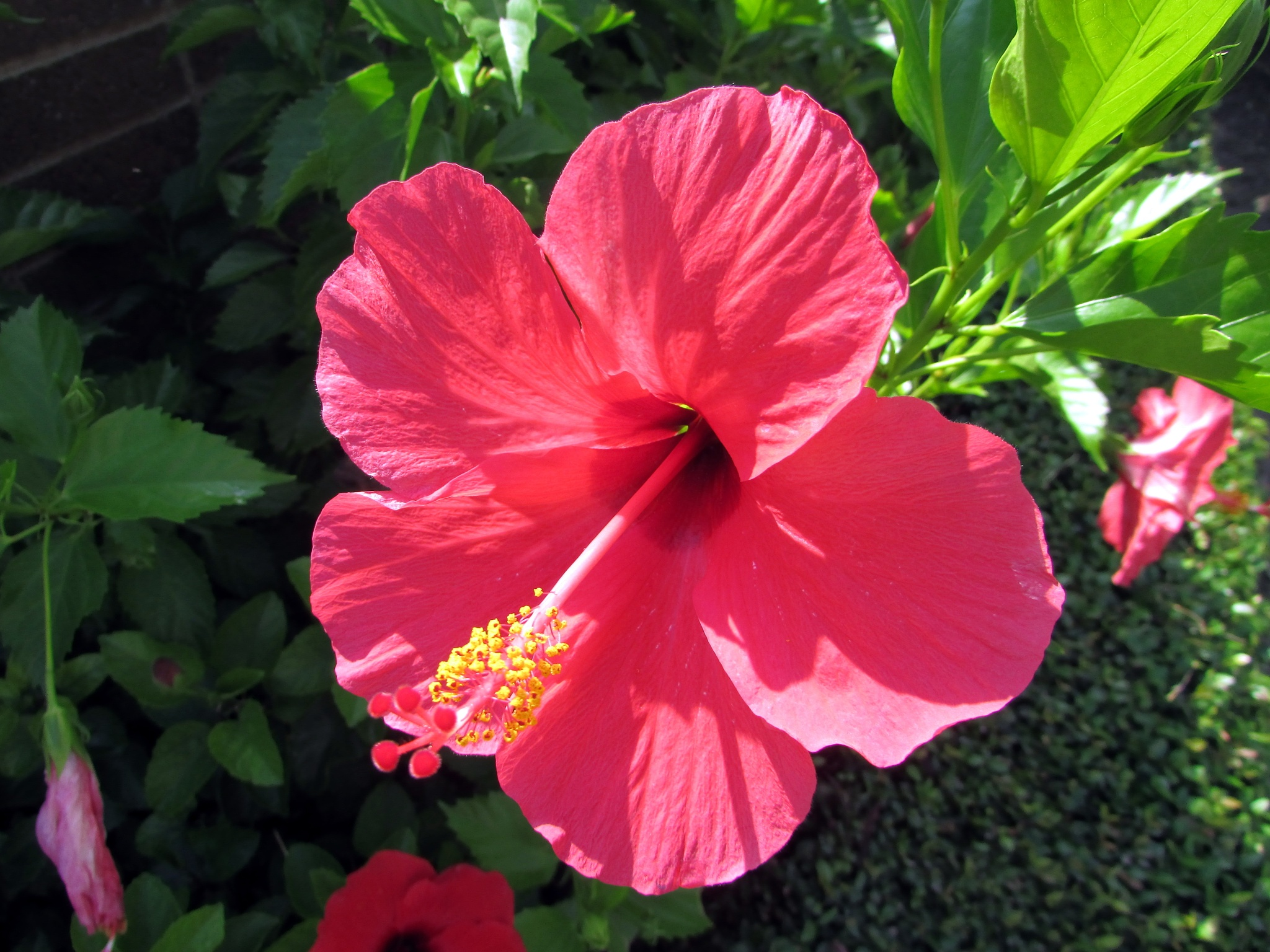 Pink Hibiscus by srobertson3us