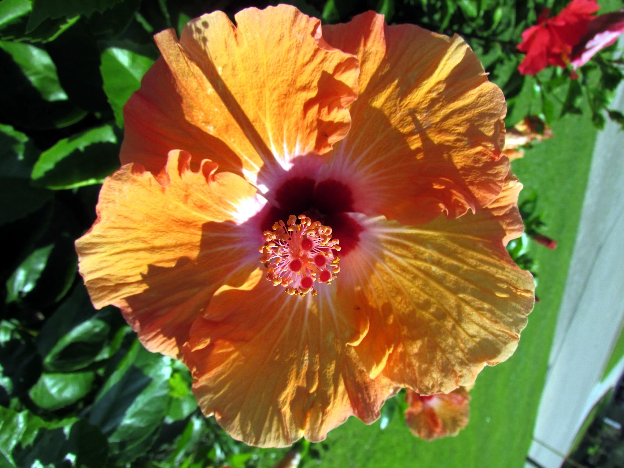 Orange Hibiscus Tropical by srobertson3us