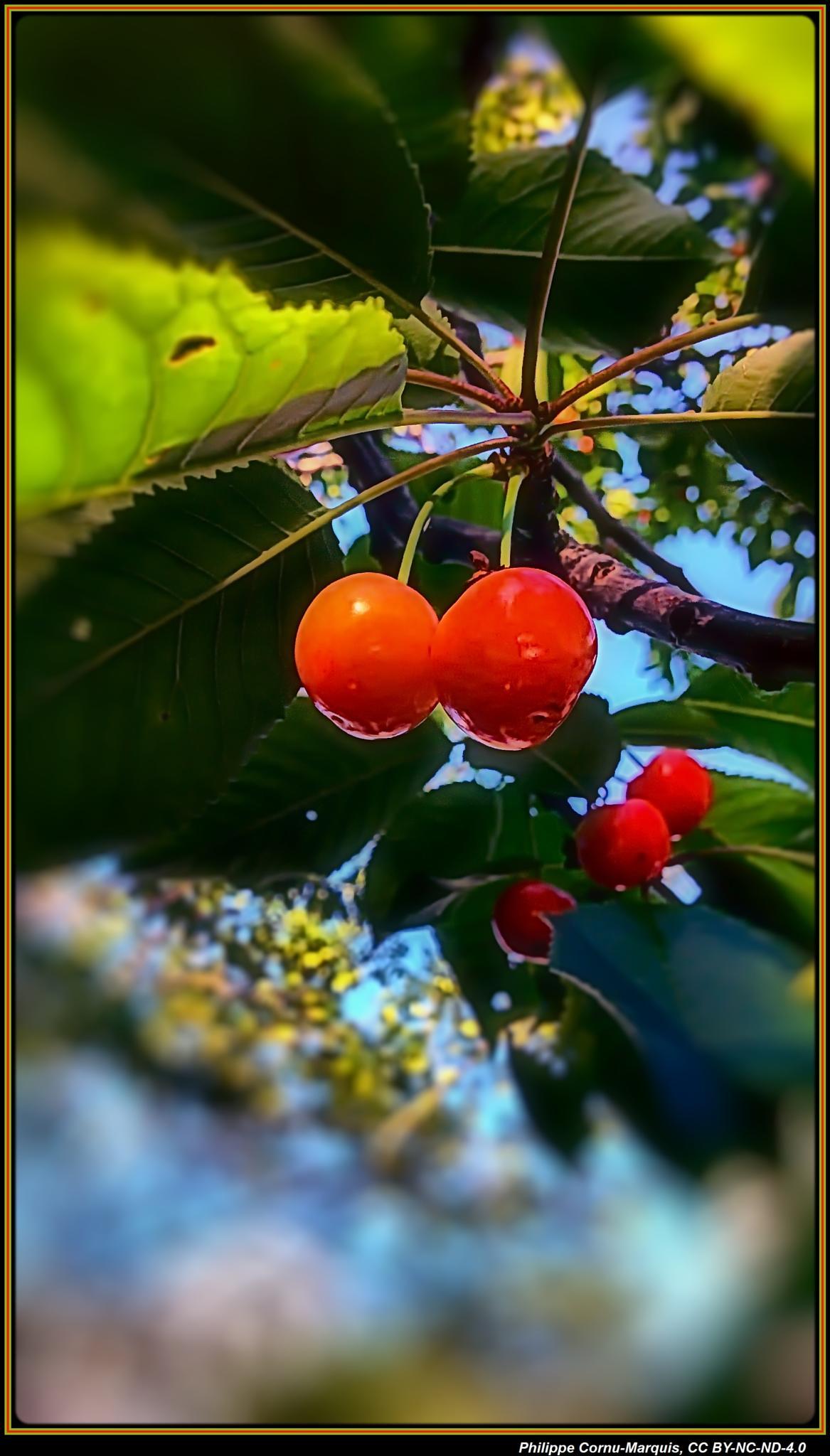 More Cherries by Philippe Cornu-Marquis