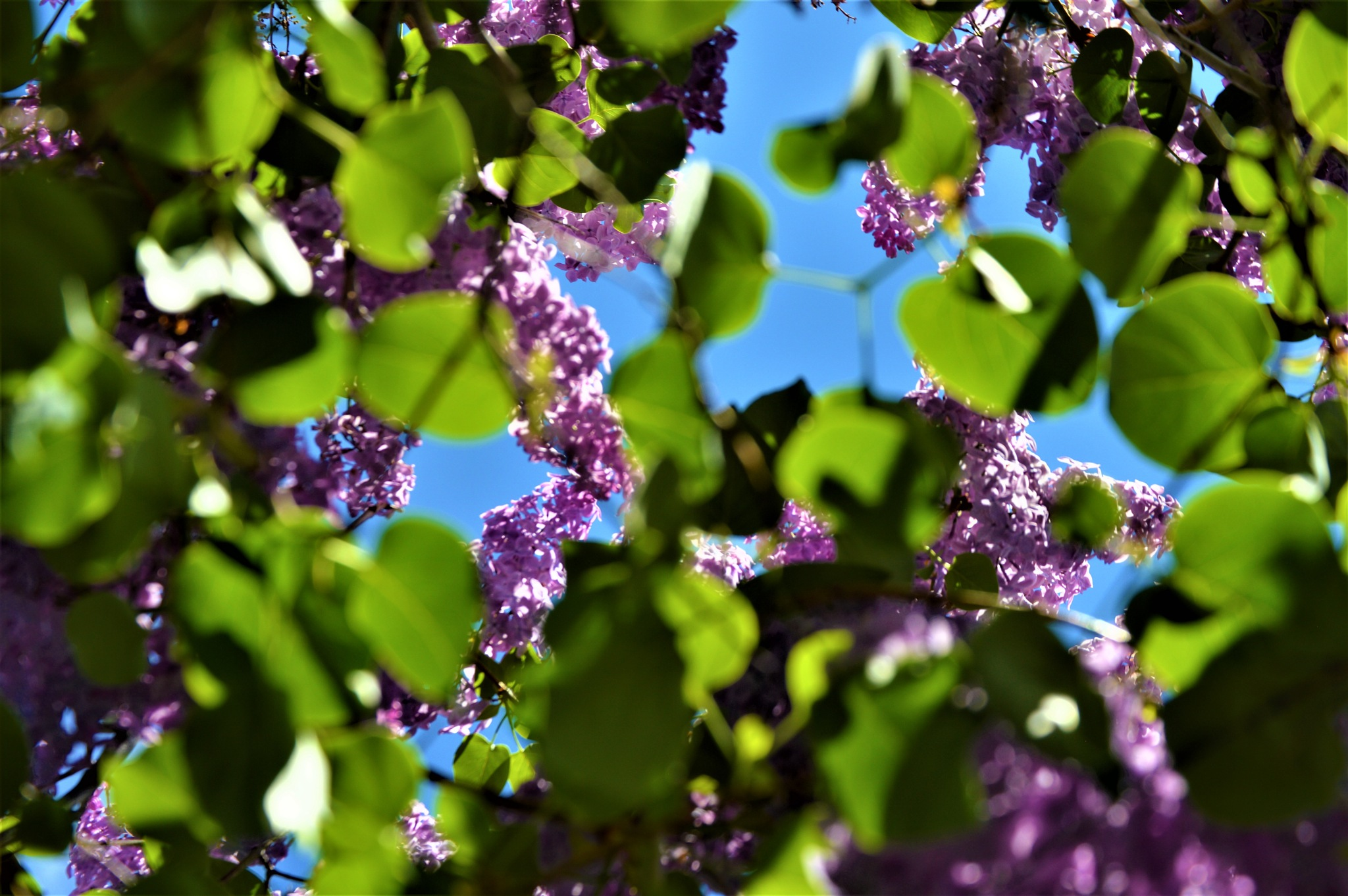 Love Lilacs! by lisawdayley