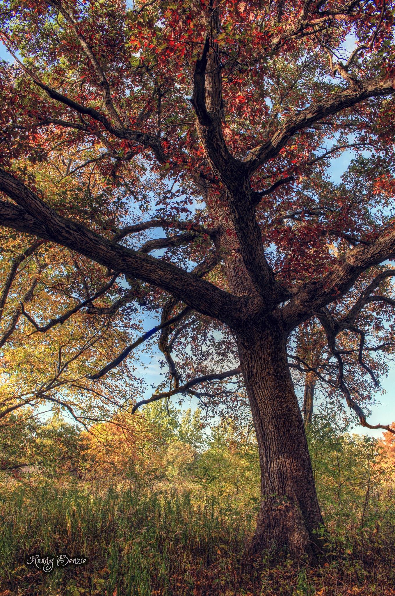 Determined Oak by Randy Benzie
