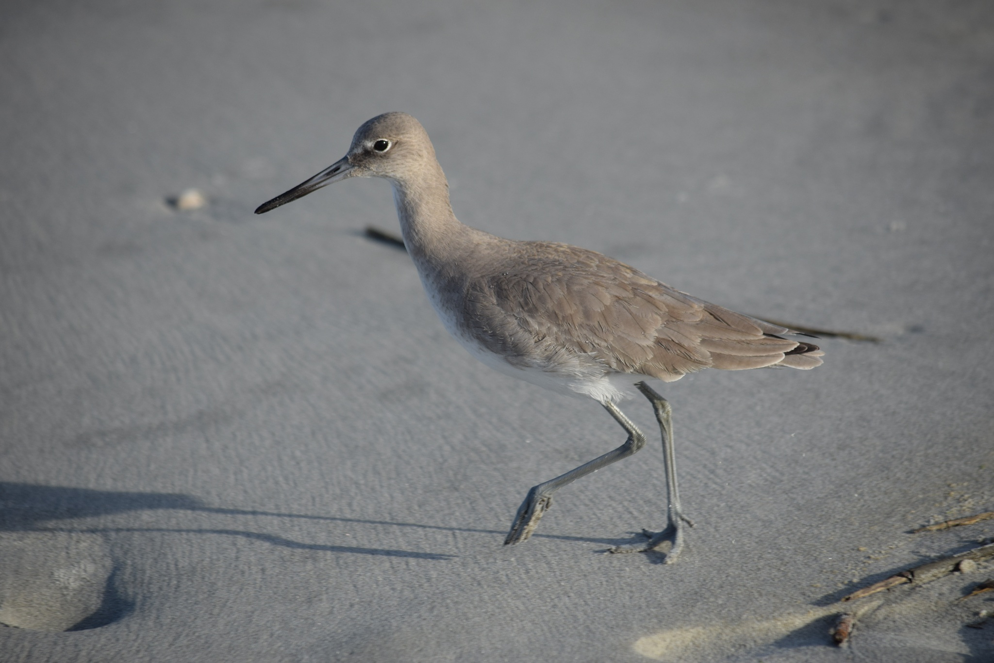 Beach  Bird by PrentissFindlay
