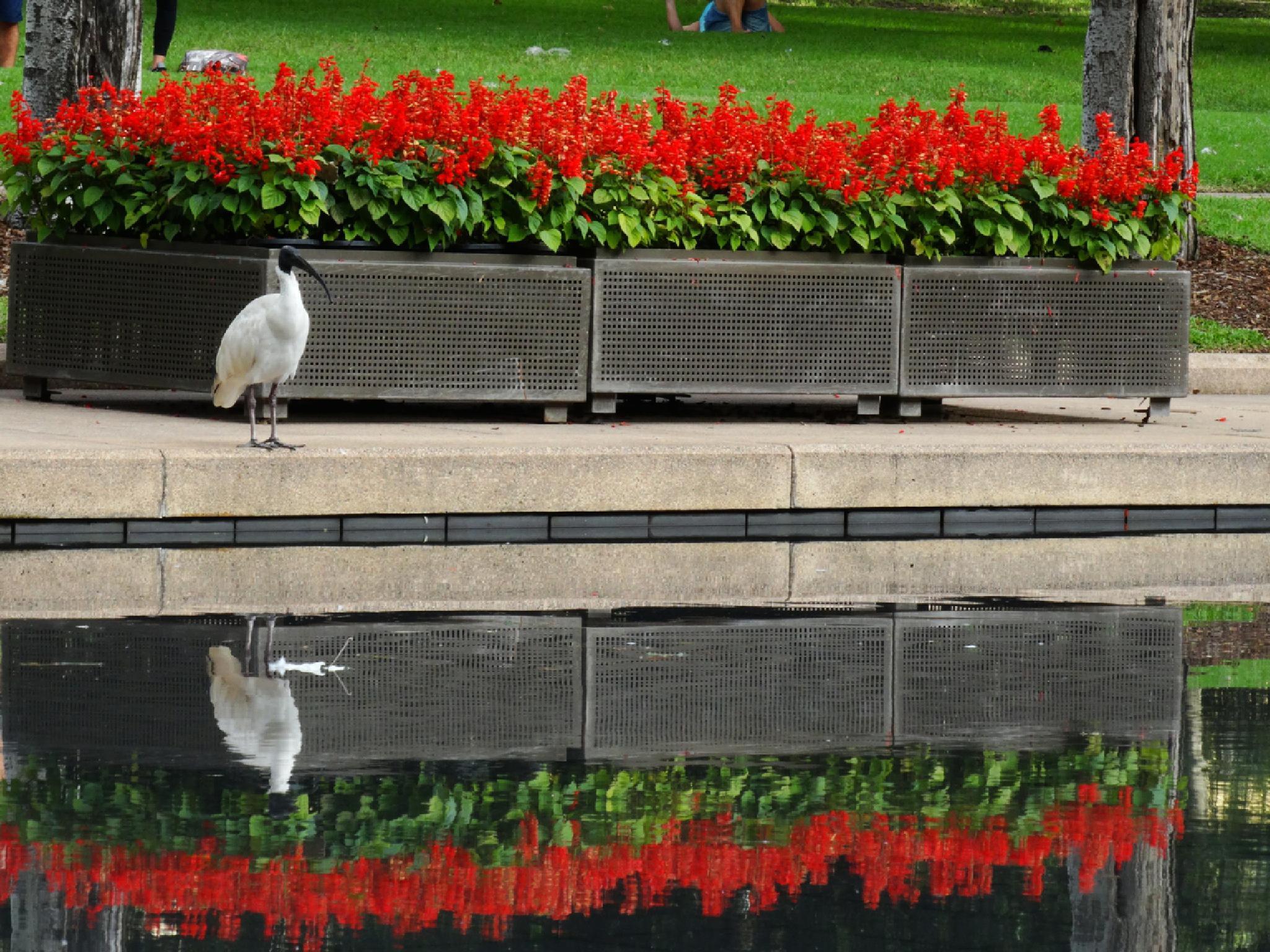Australian White Ibis by Melissa Trujillo
