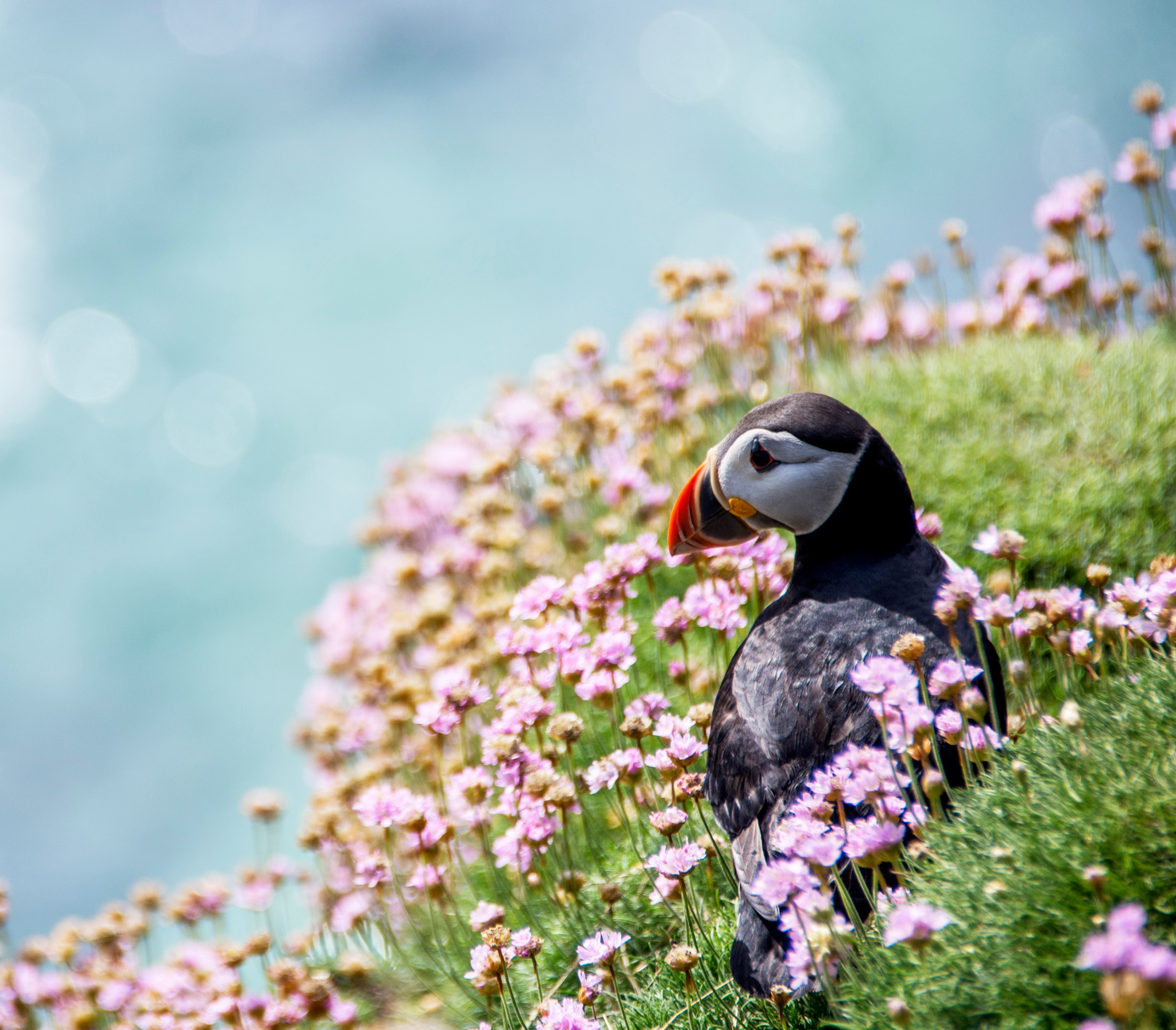 A Puffin on The Saltee Islands. by Pat kehoe