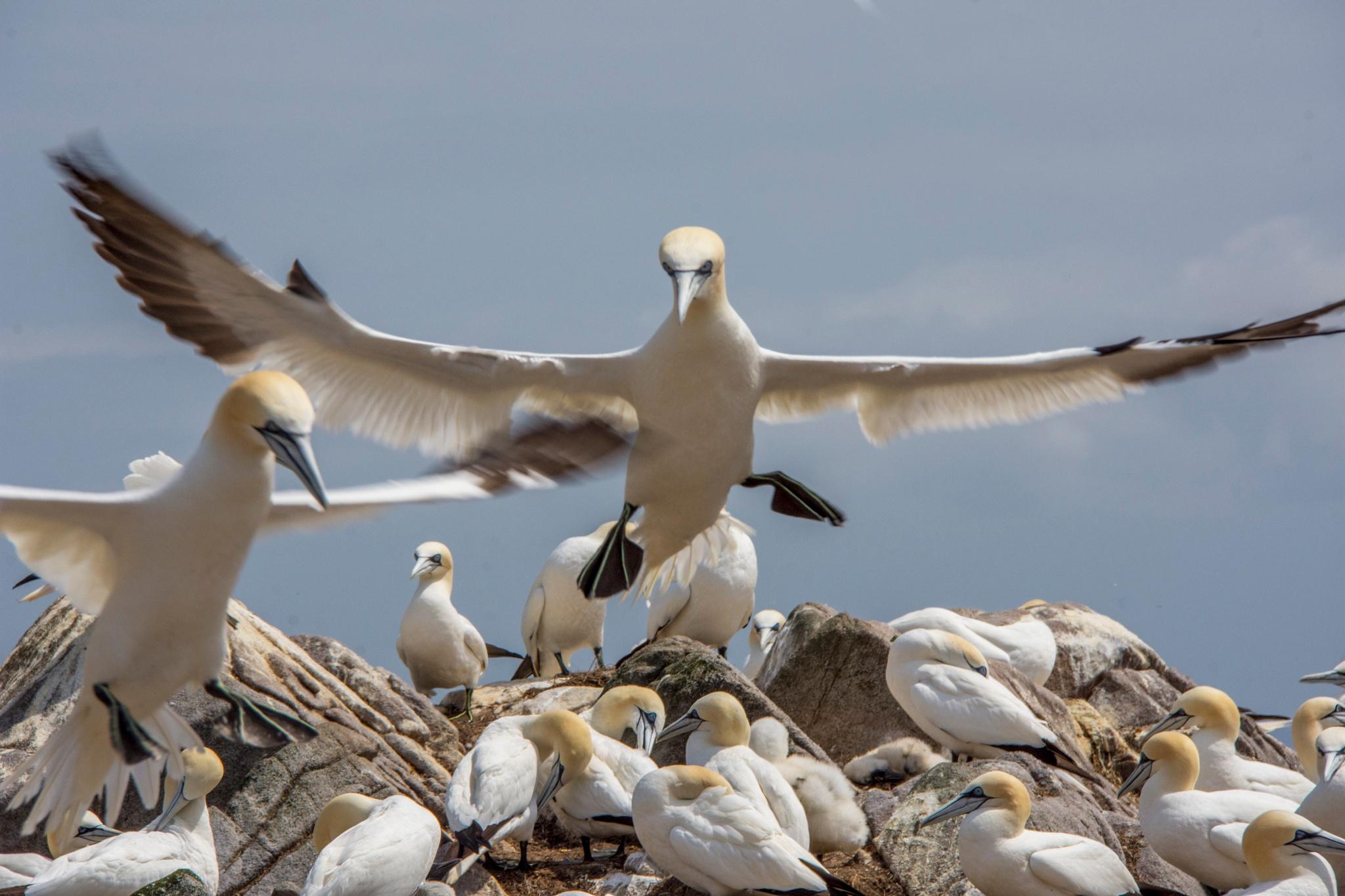 Gannet colony on The Saltee Islands. by Pat kehoe
