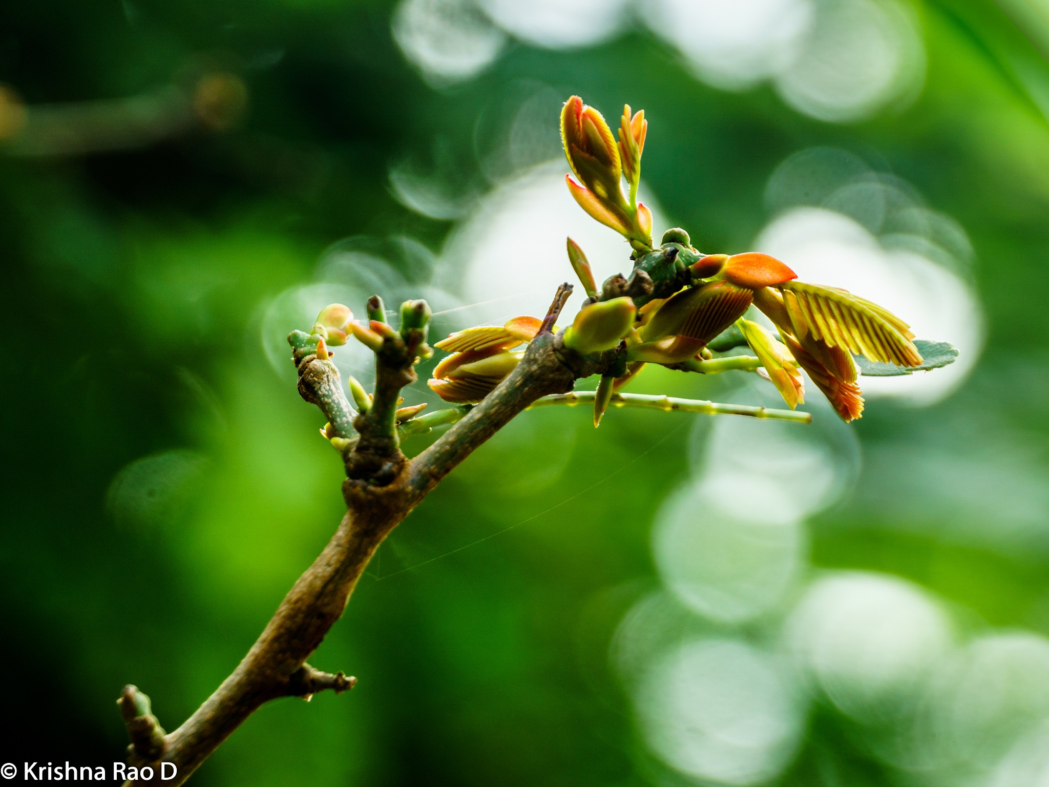 tender leaves by Krishna Rao D
