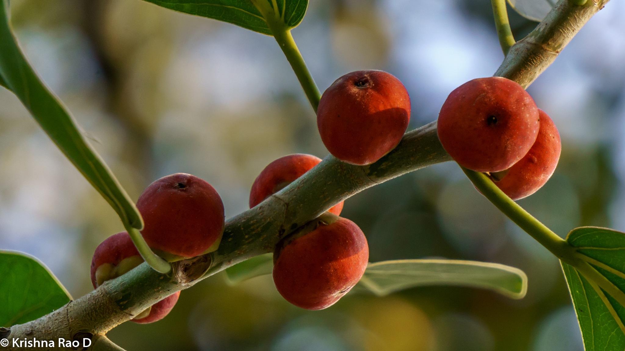 Banyan tree fruits by Krishna Rao D