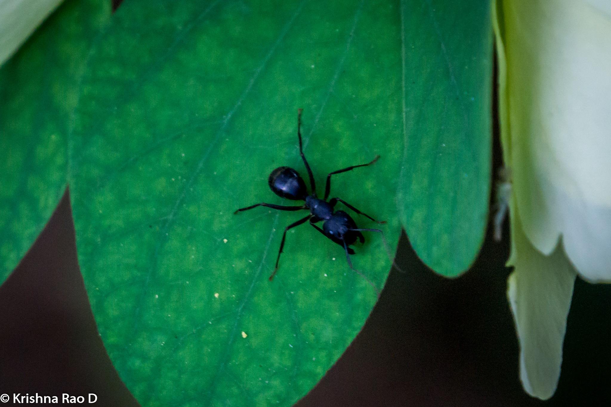 ant by Krishna Rao D