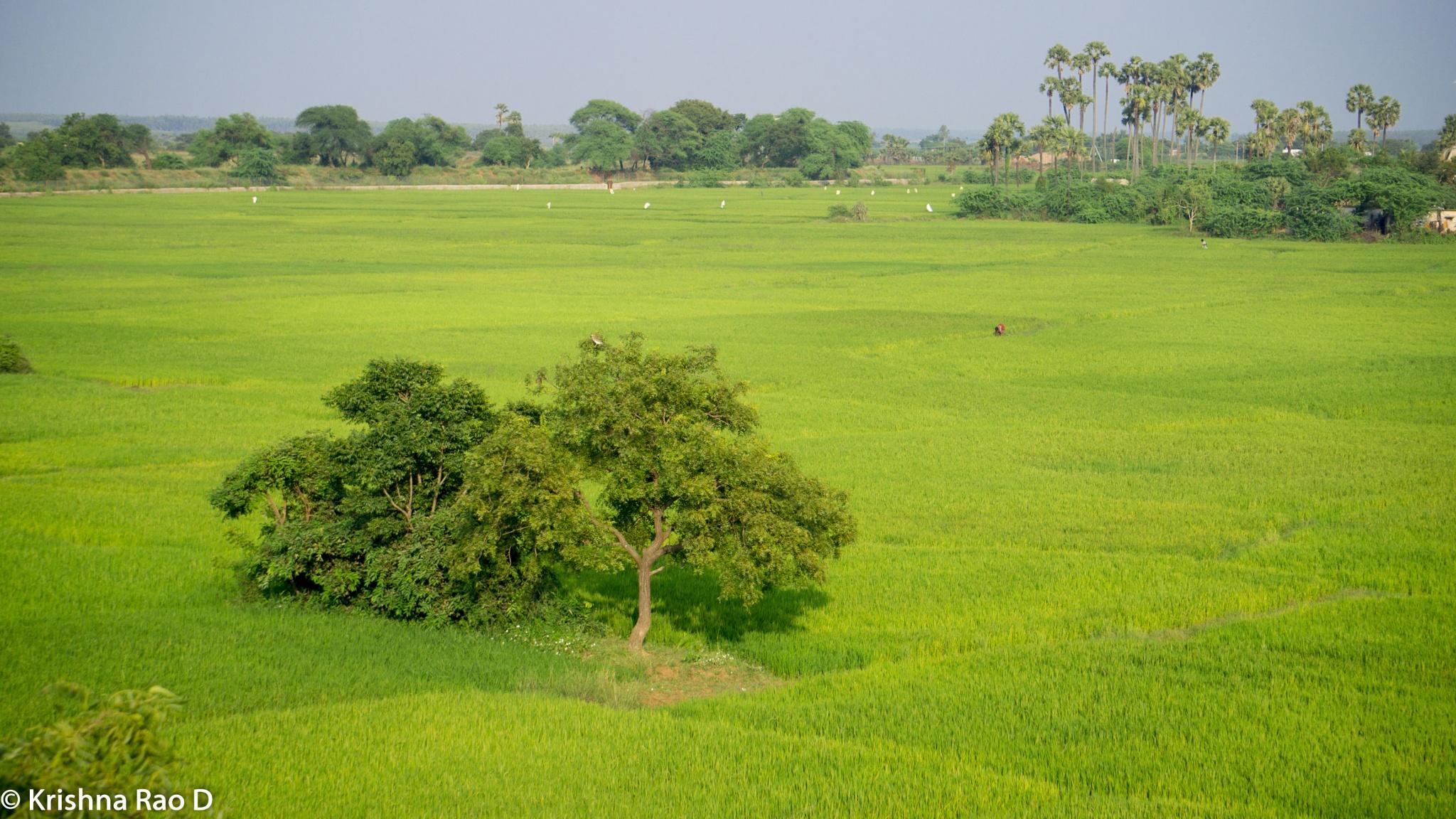 paddy fields by Krishna Rao D