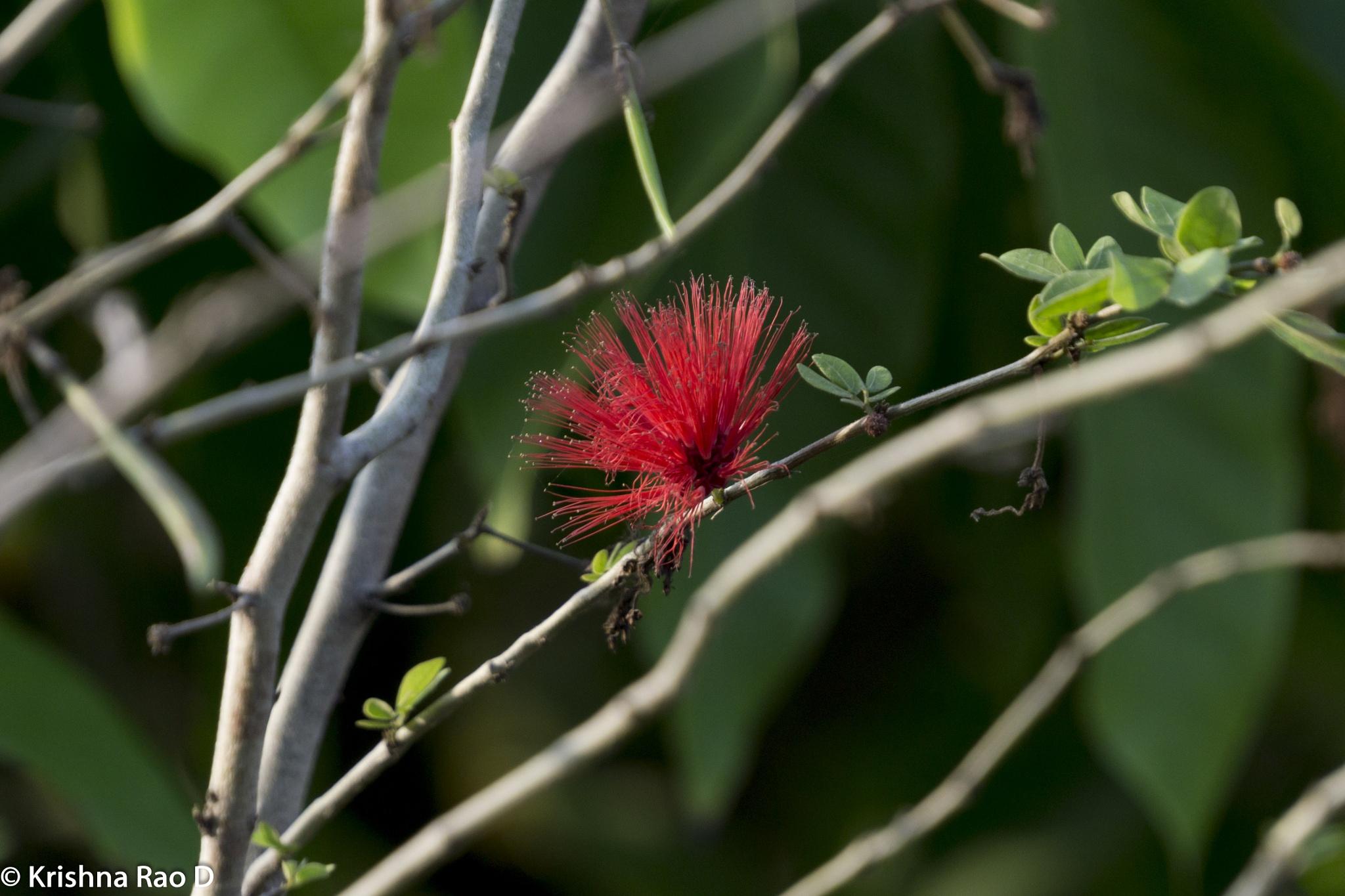 round brush flower by Krishna Rao D