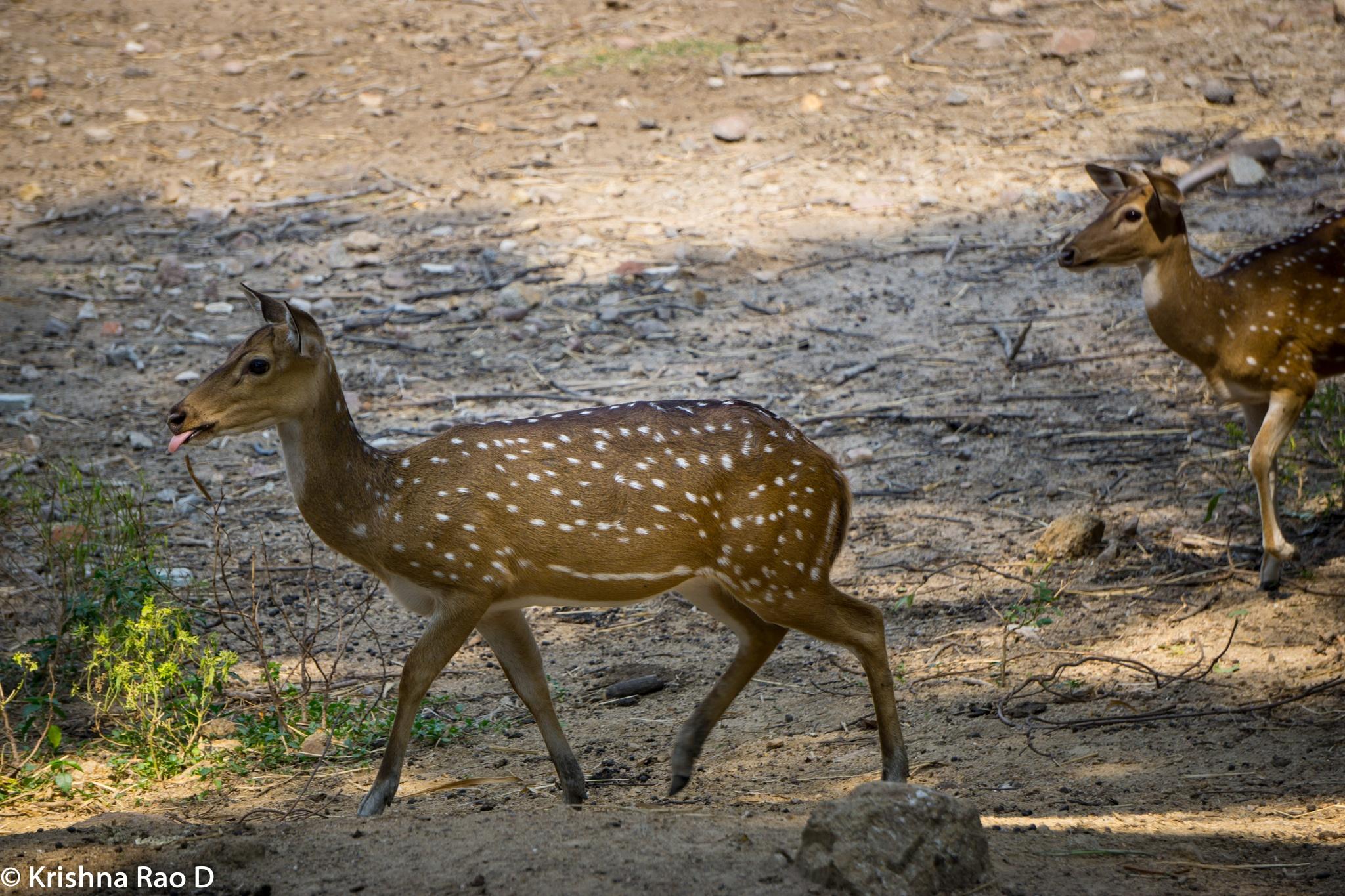 spotted deers by Krishna Rao D