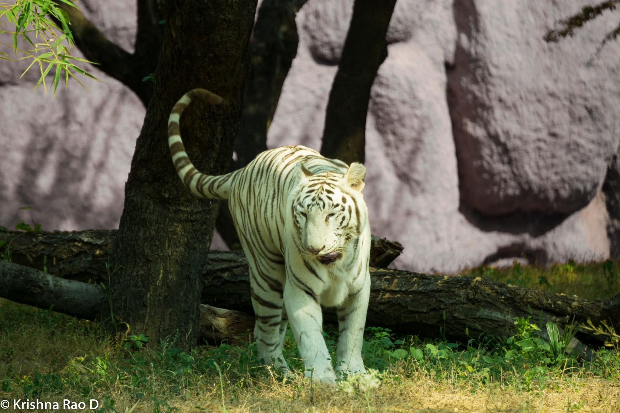 white tiger by Krishna Rao D