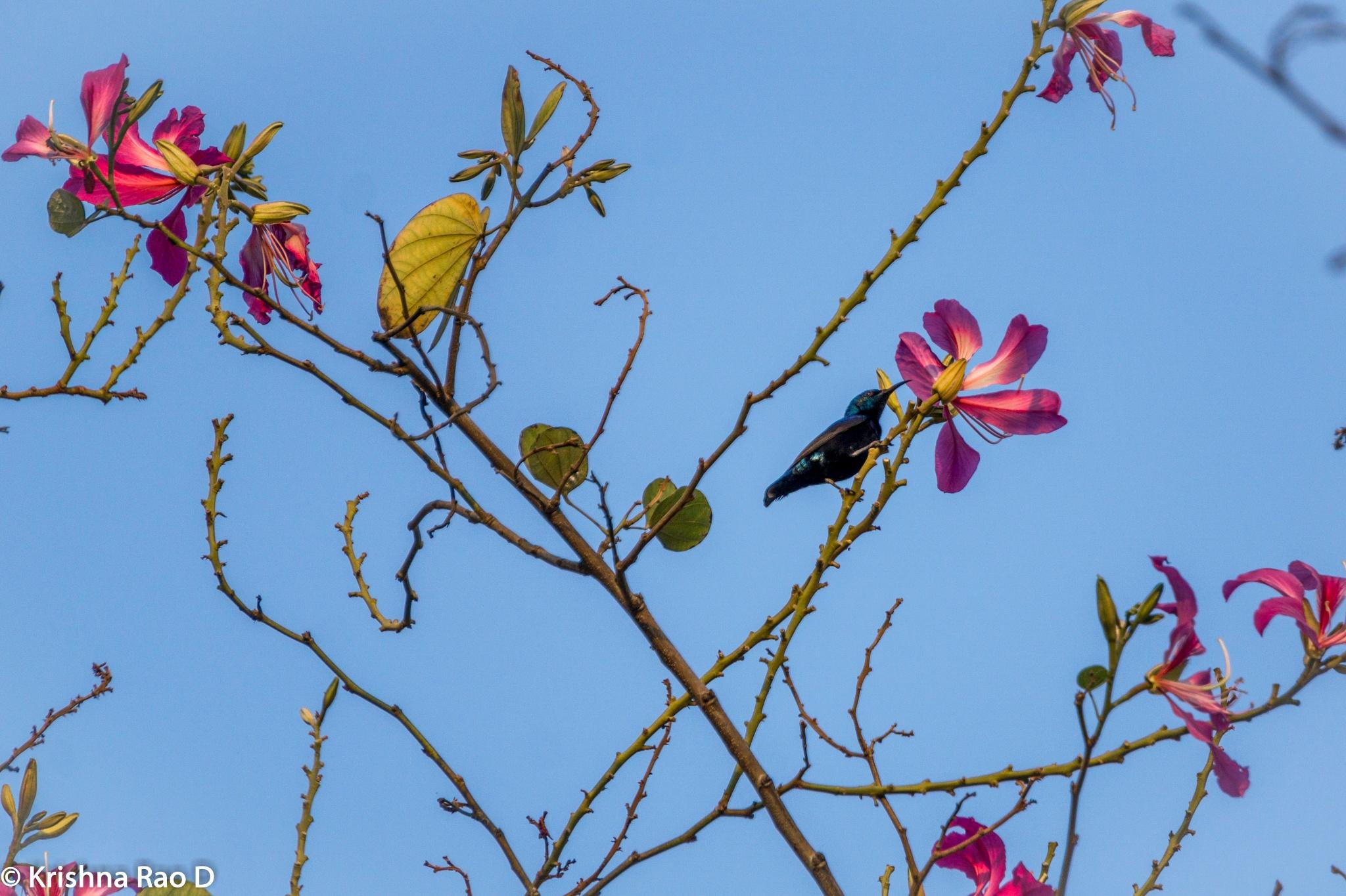 hummingbird by Krishna Rao D