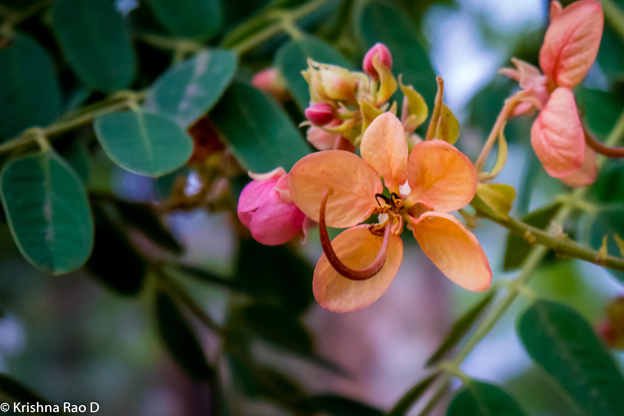 beautiful flowers by Krishna Rao D
