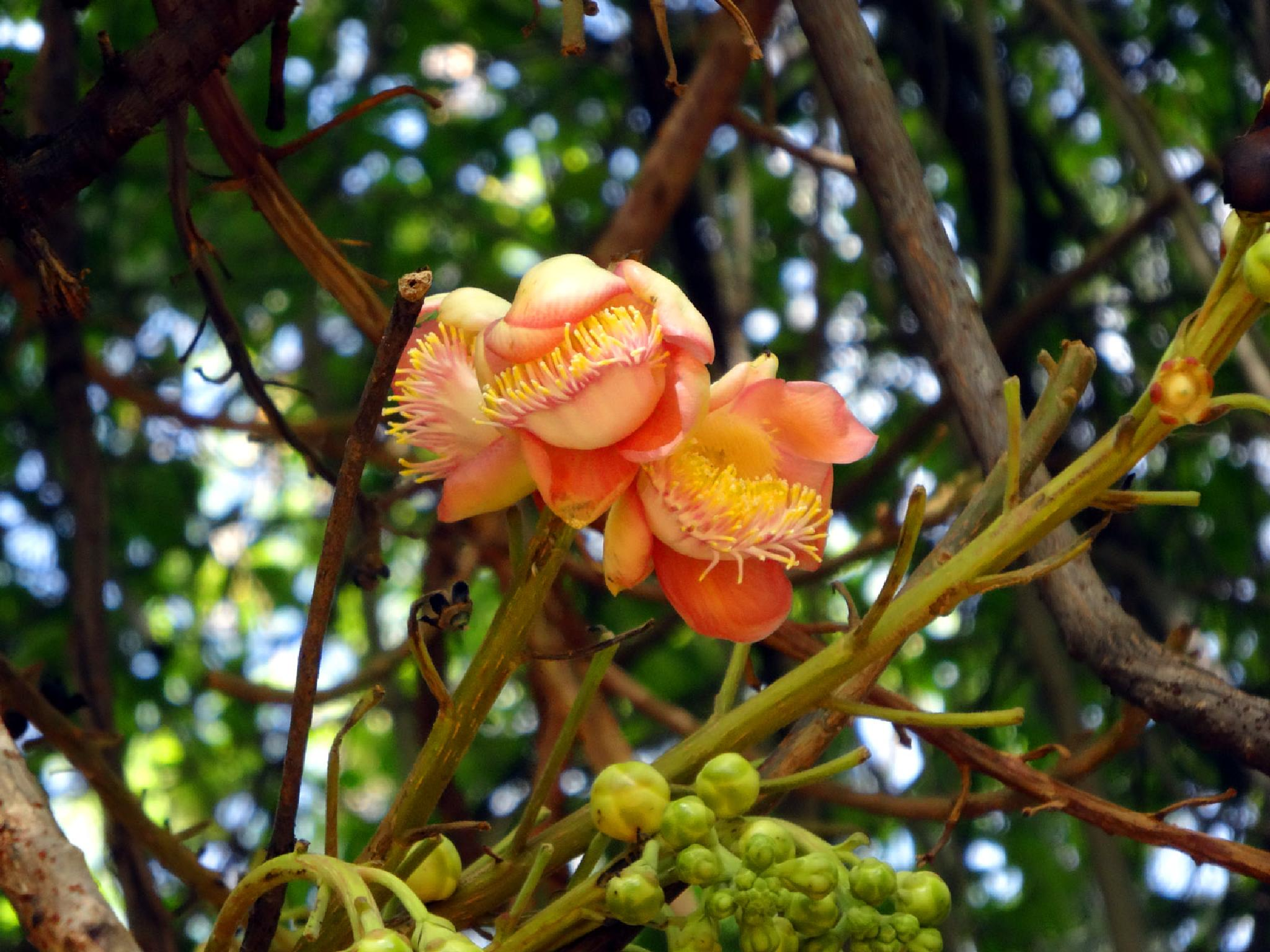 Cannonball flower by Krishna Rao D