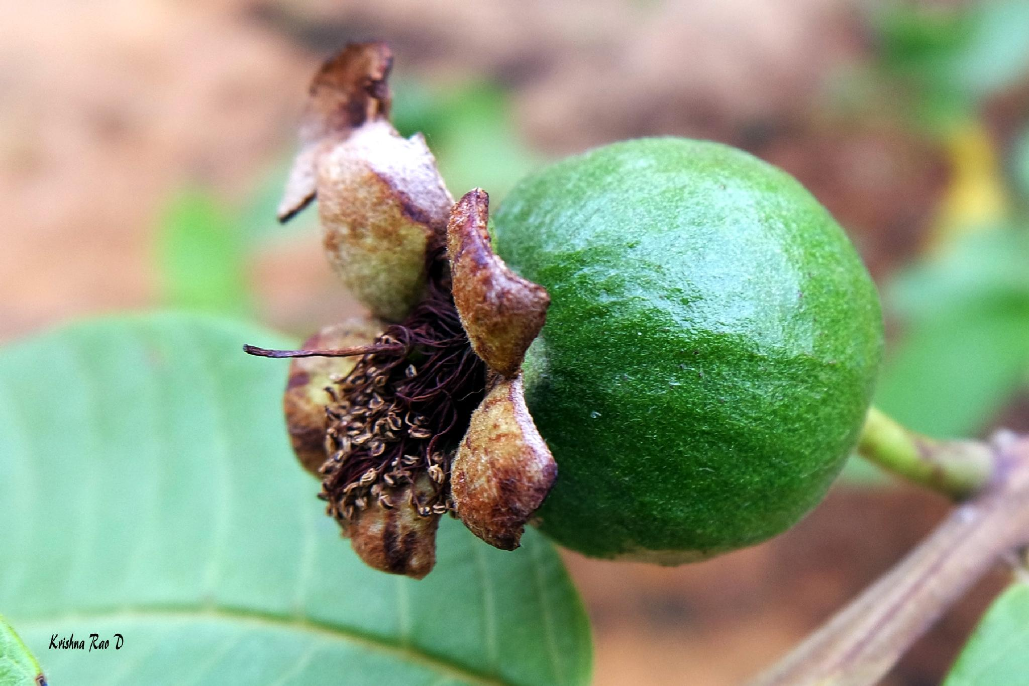 Photo in Nature #guava #fruit