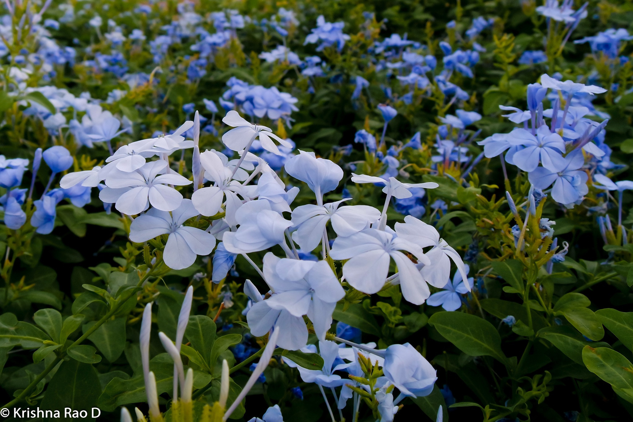 lovely flowers by Krishna Rao D