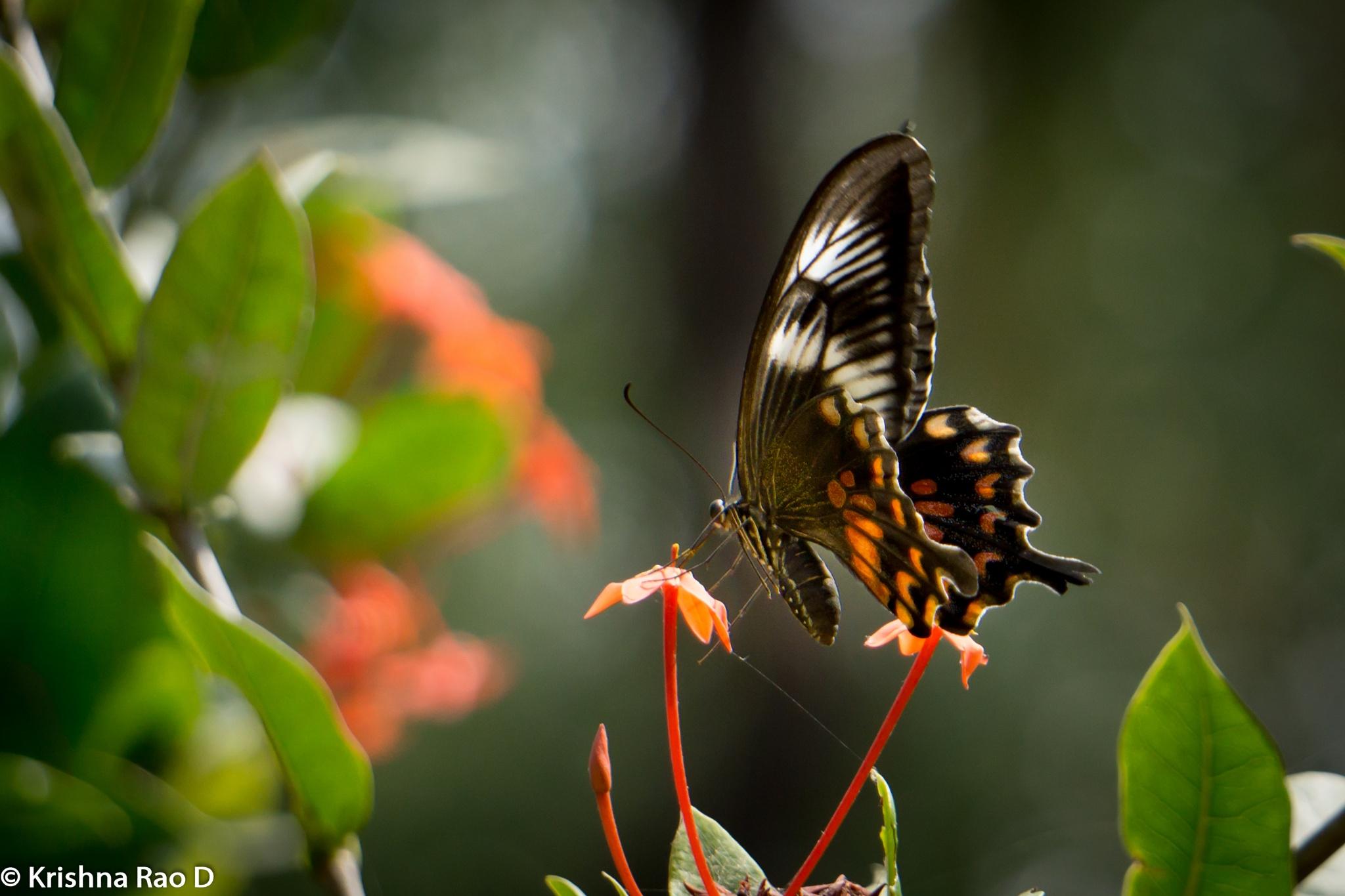 beautiful butterfly by Krishna Rao D