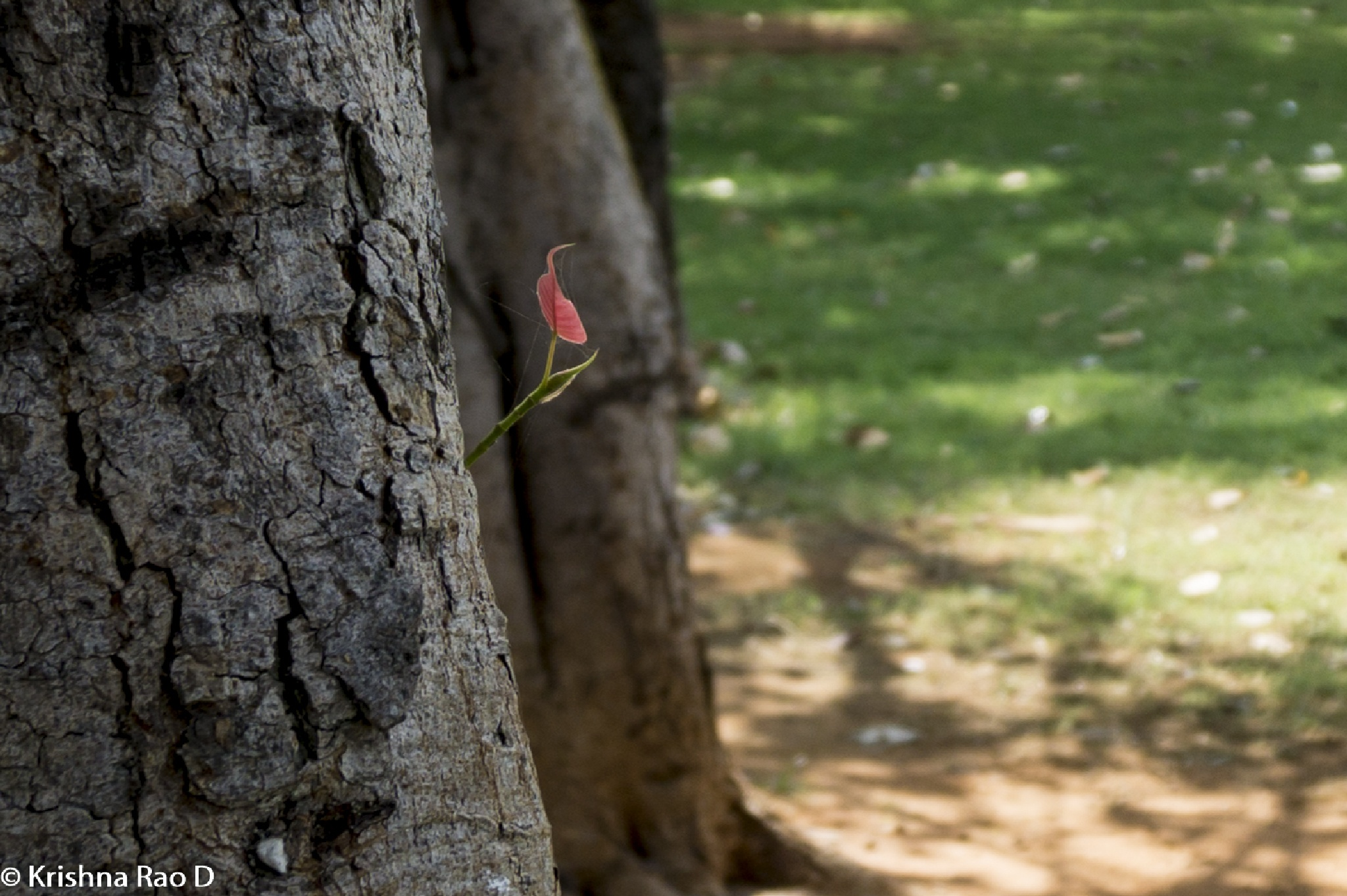 new branch started with a tiny leaf by Krishna Rao D
