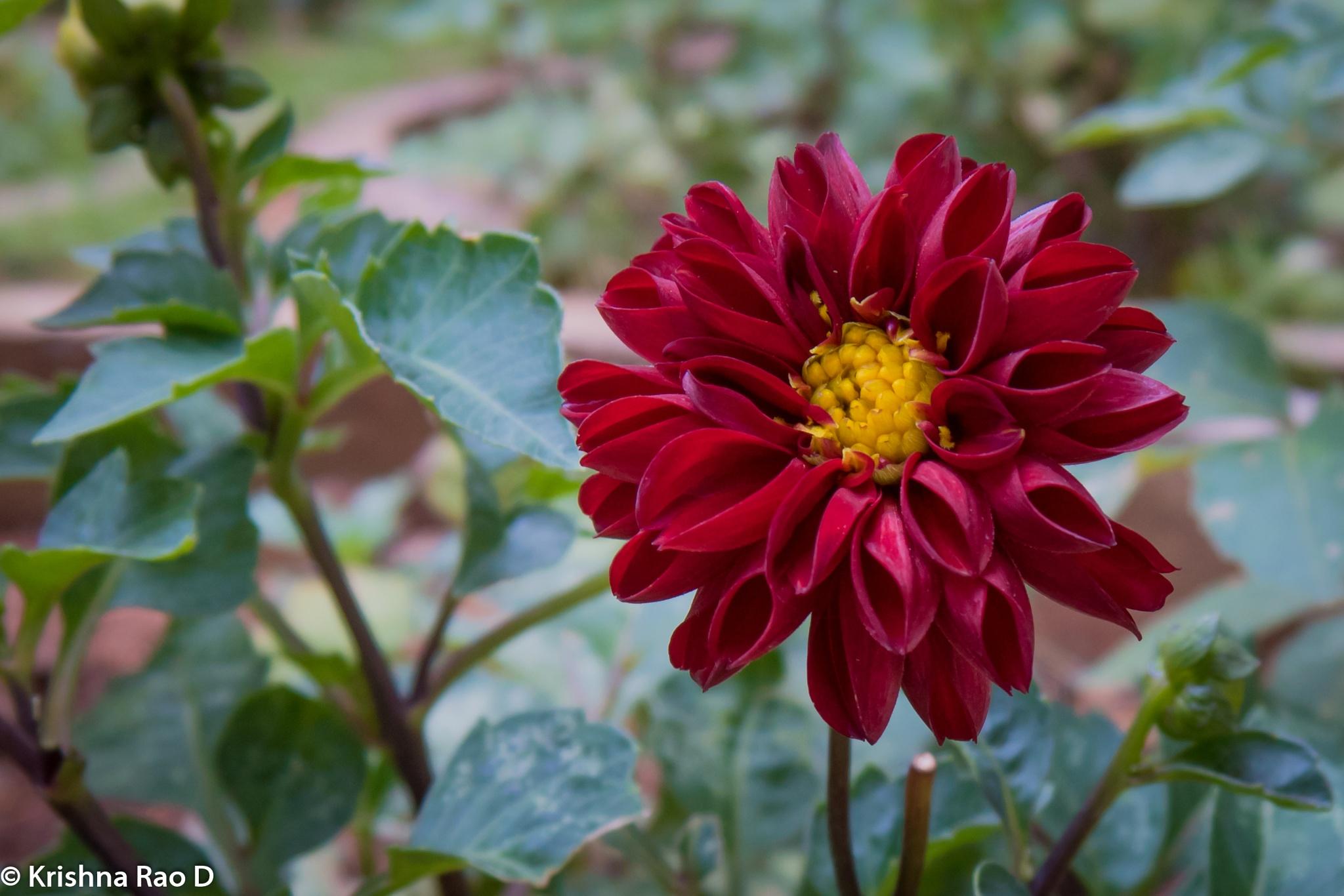 beautiful flower by Krishna Rao D