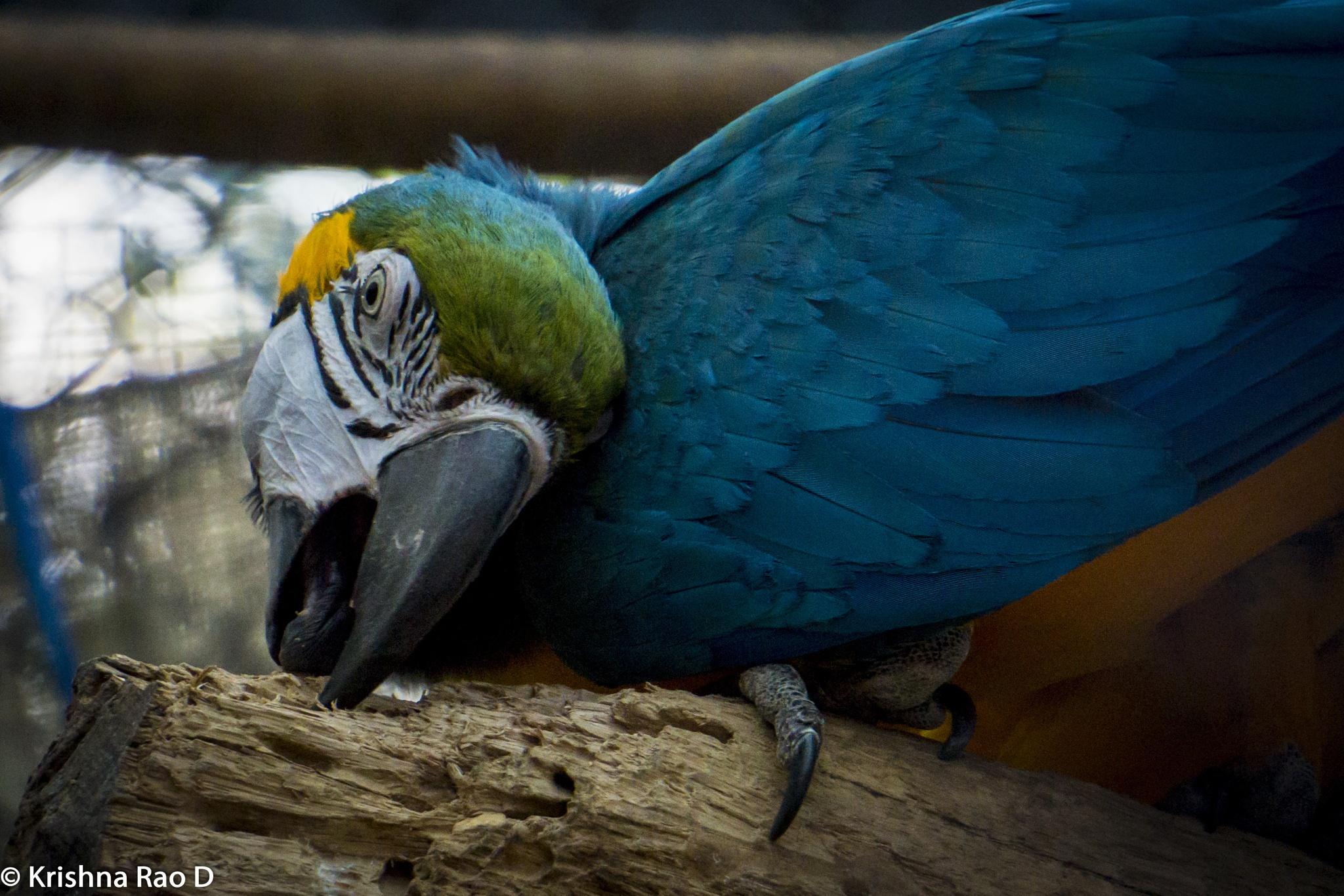 macaw by Krishna Rao D
