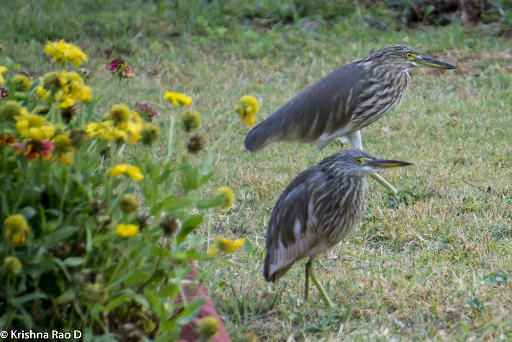 cranes by Krishna Rao D