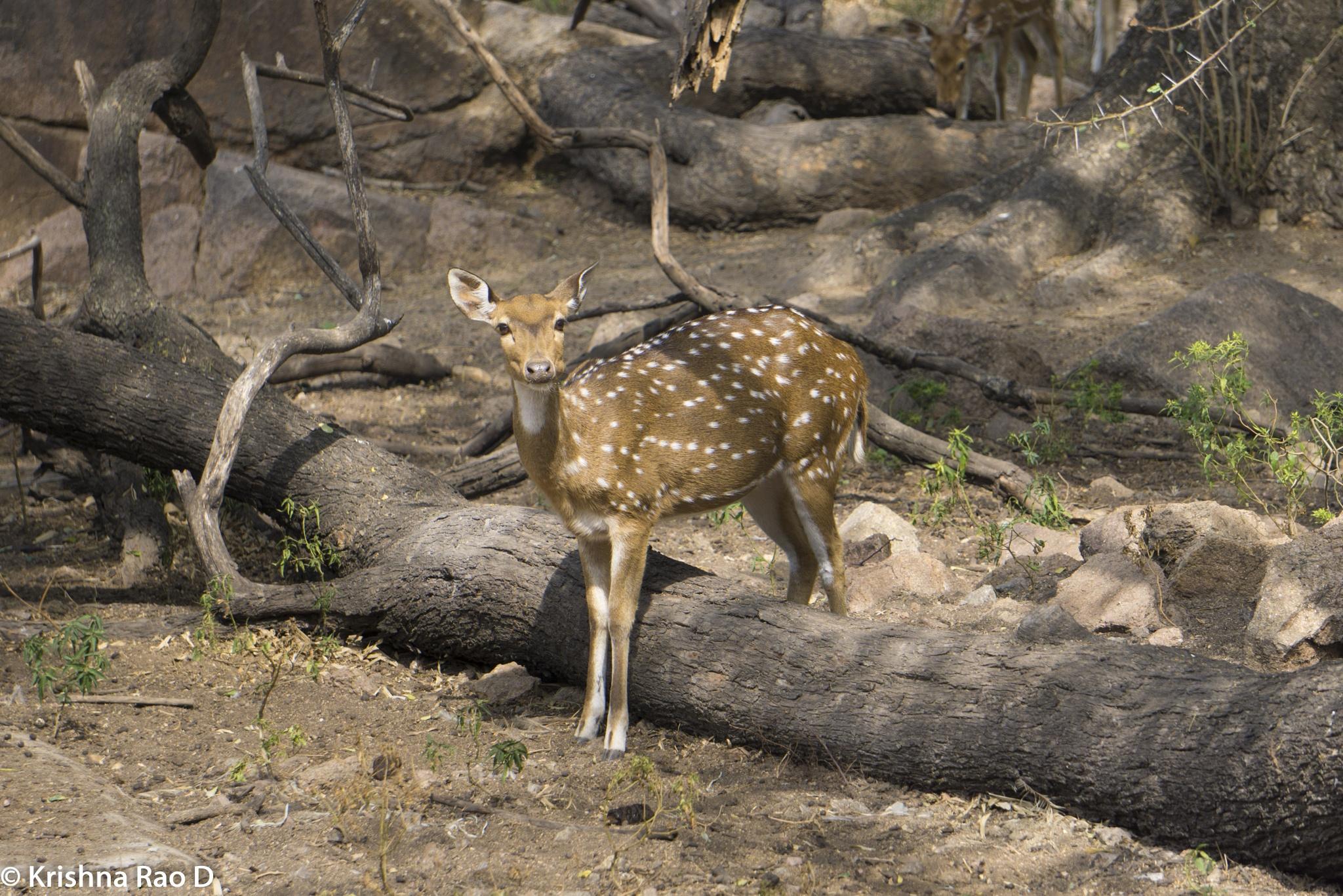 deer by Krishna Rao D