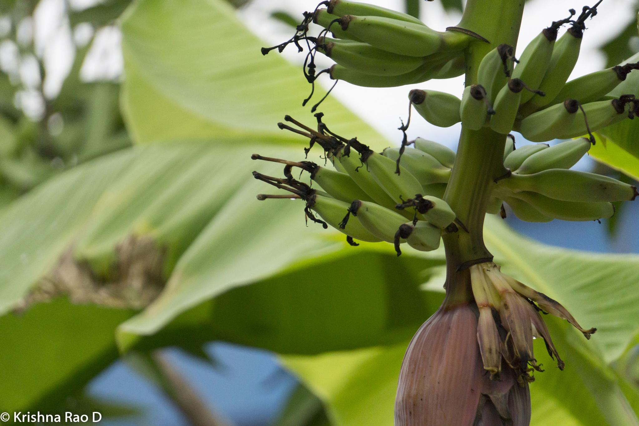 banana by Krishna Rao D