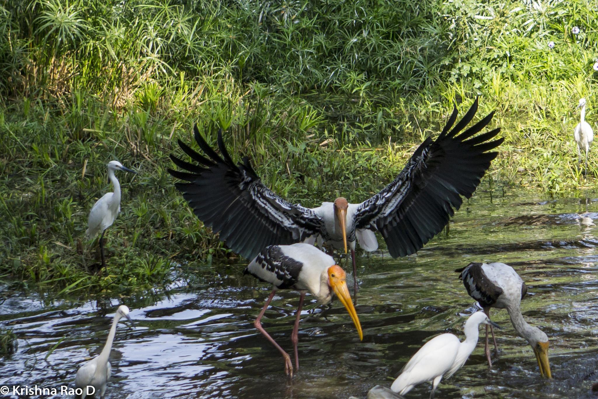 Yellow-billed Storks by Krishna Rao D