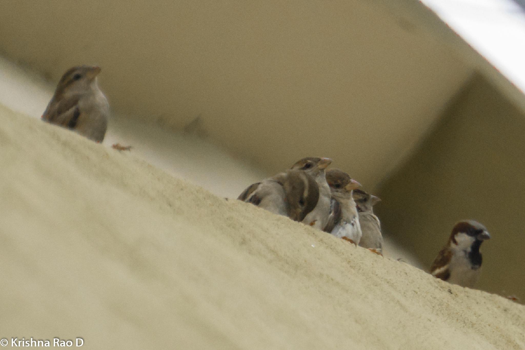 sparrows by Krishna Rao D