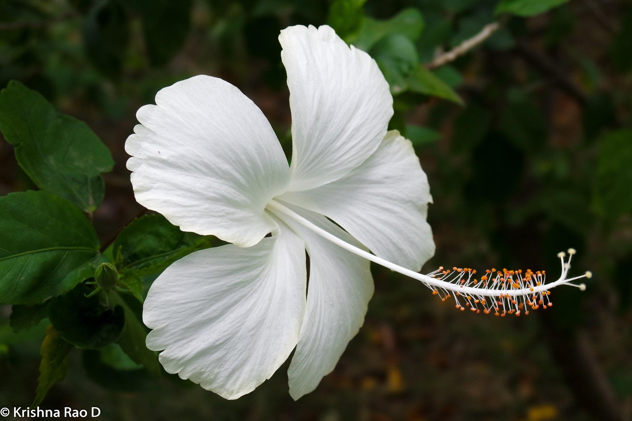 hibiscus flower by Krishna Rao D
