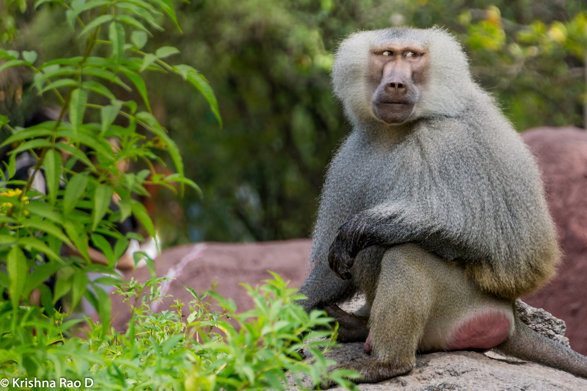 monkey by Krishna Rao D