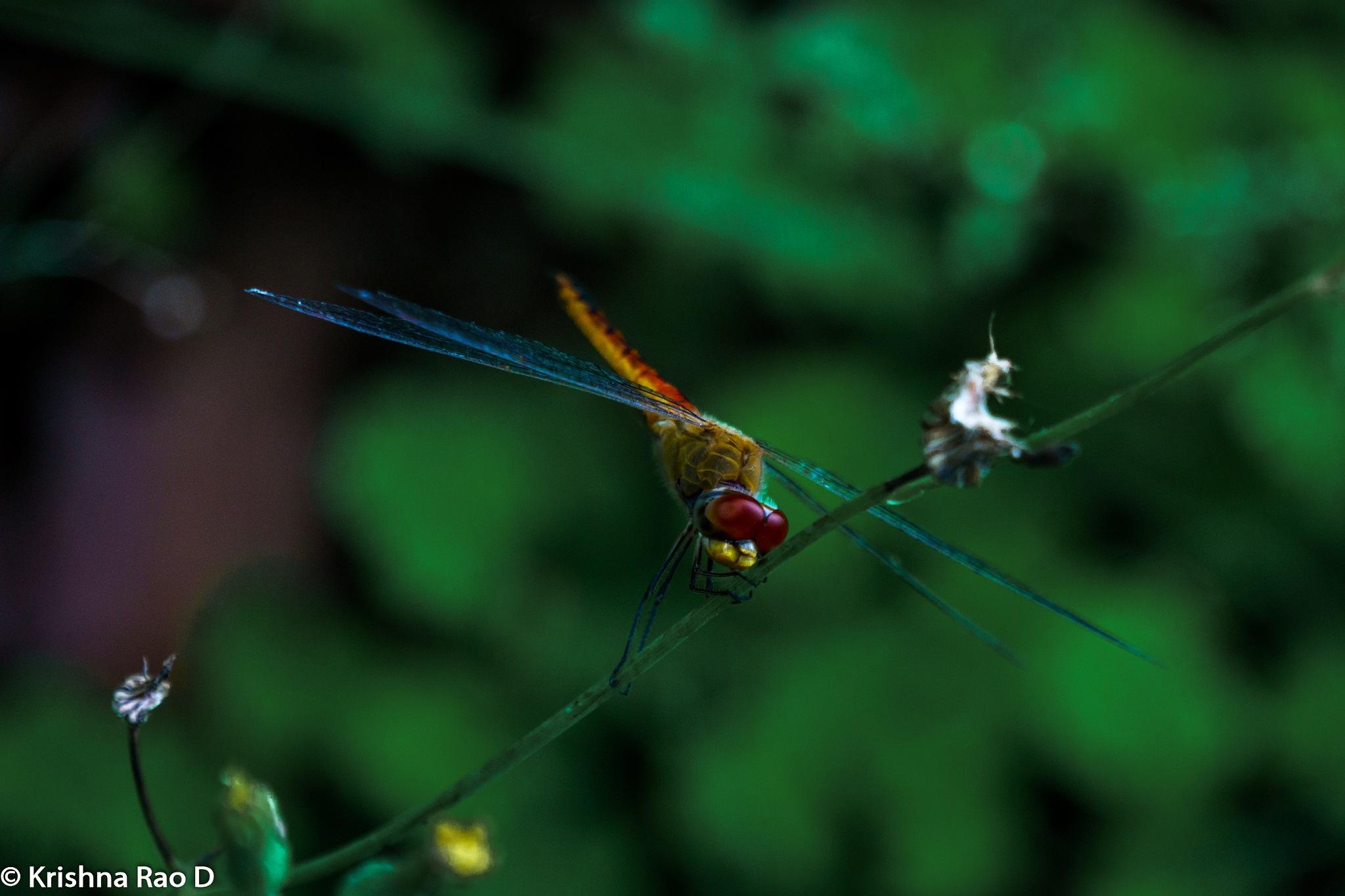 dragonfly by Krishna Rao D